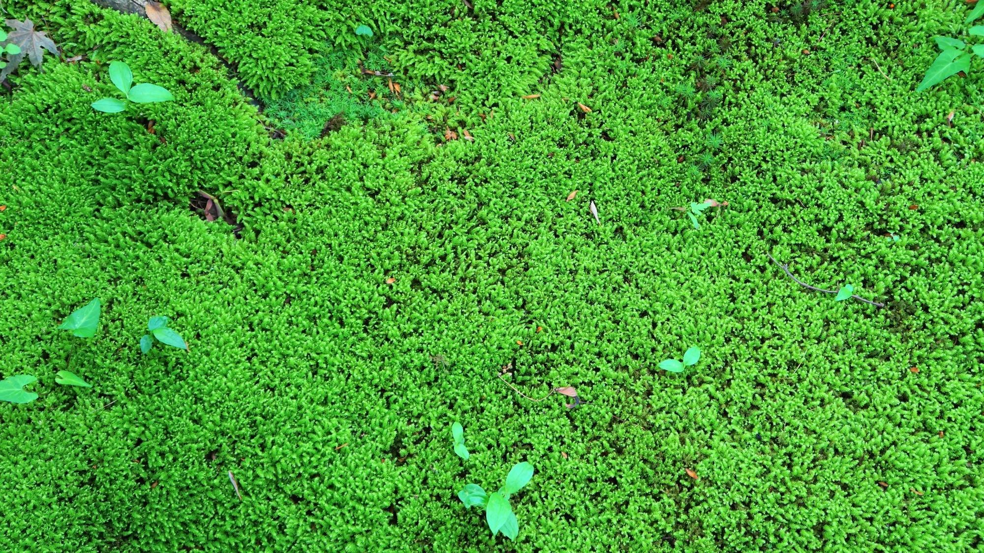 金福寺の庭園入口付近の見事な苔