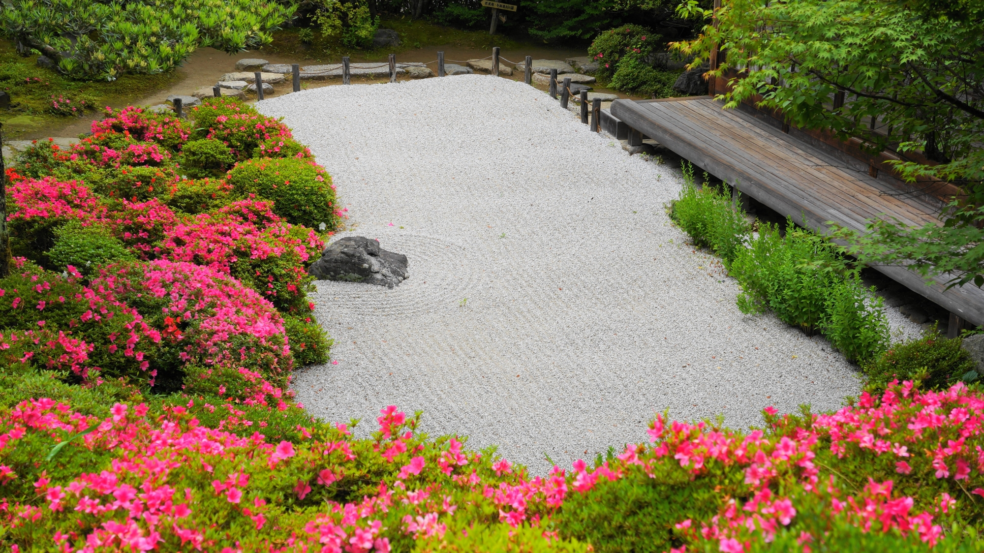 金福寺の庭園を彩る煌くピンクのサツキ