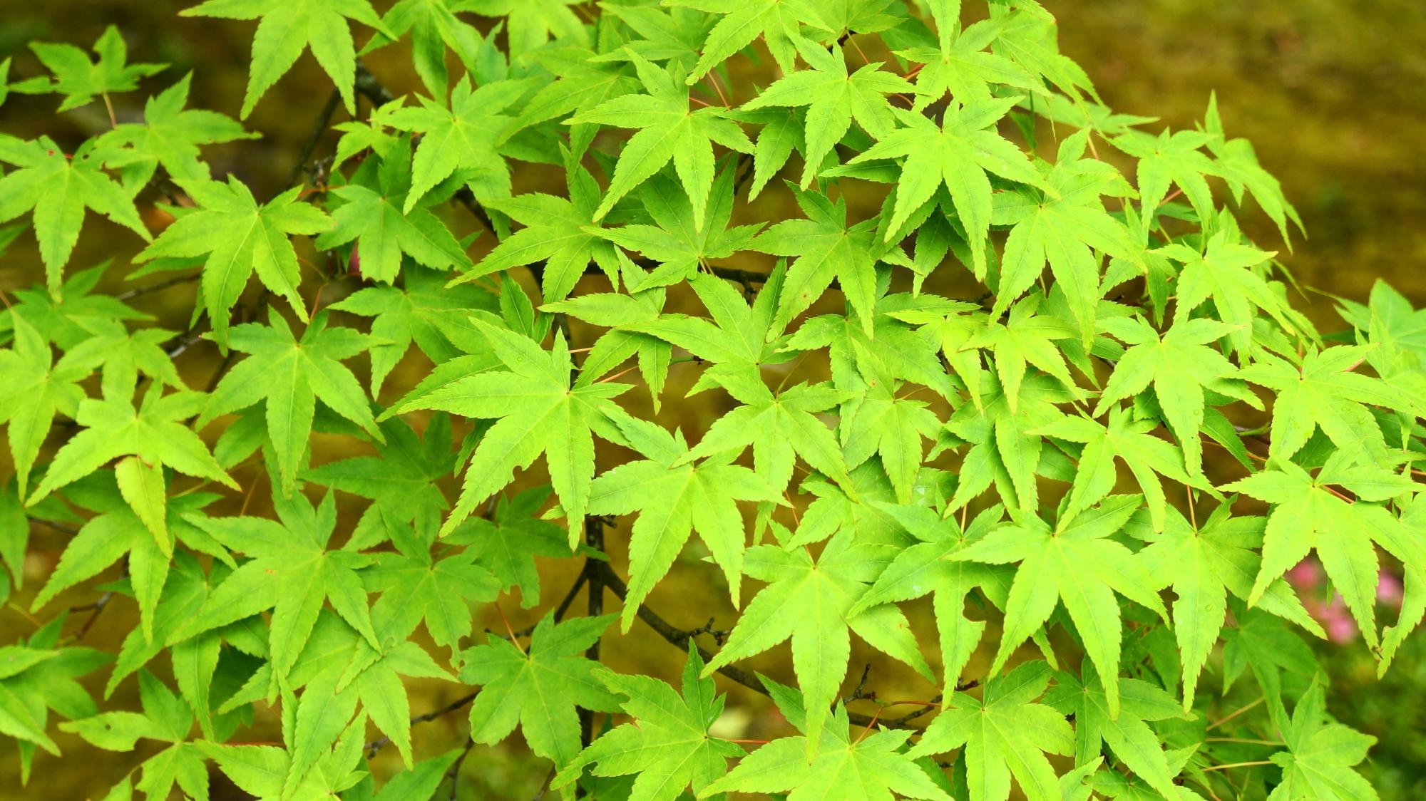 金福寺の美しく爽やかな緑の青もみじ