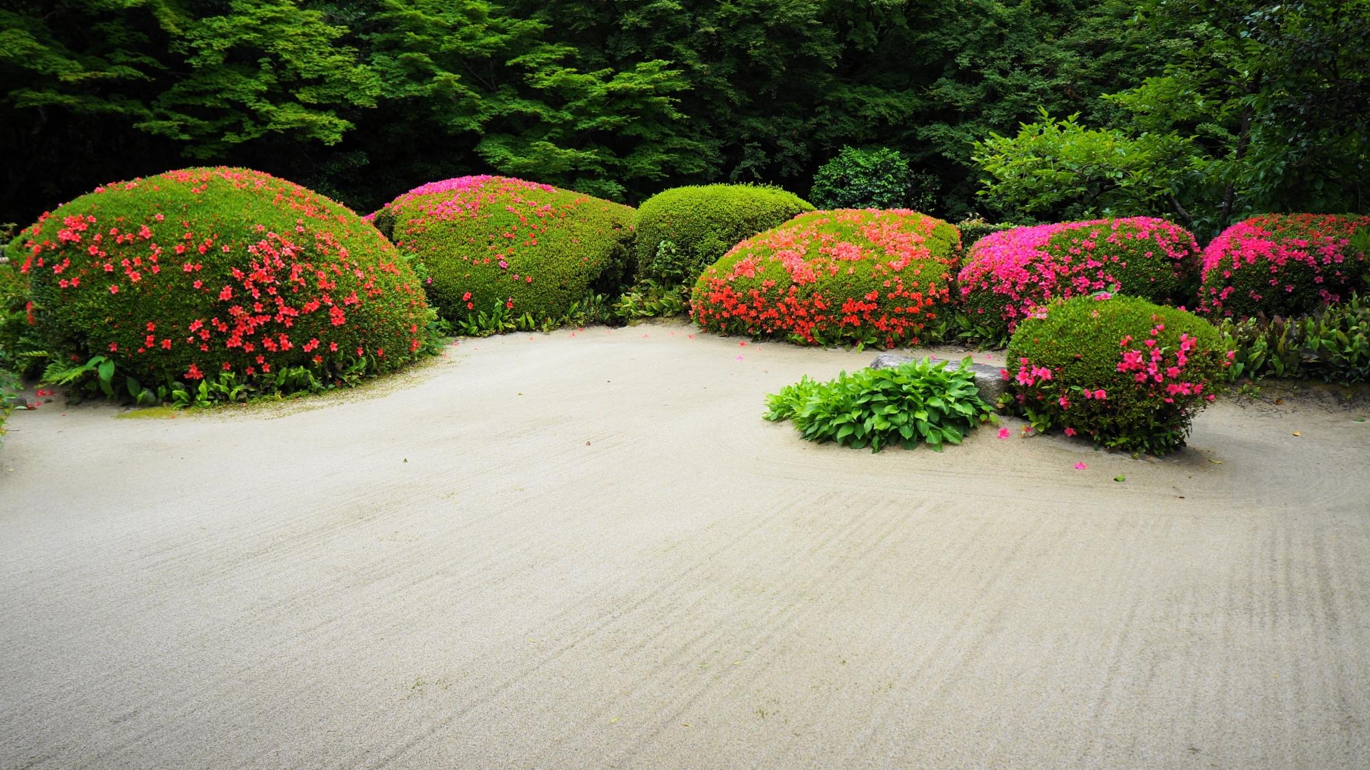 白砂に映える鮮やかなサツキの花