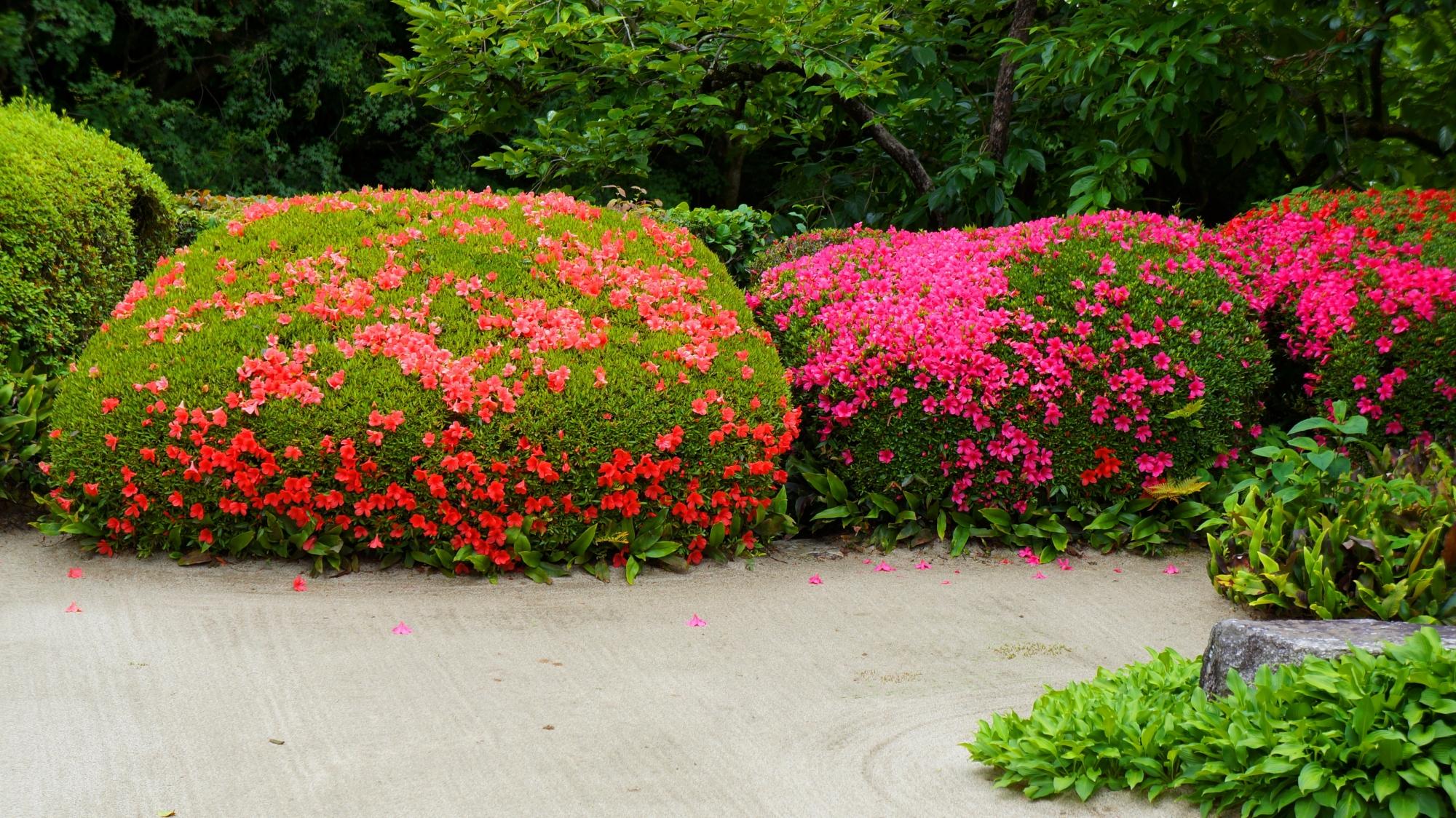 優雅に咲き誇るピンクや朱色のサツキの花