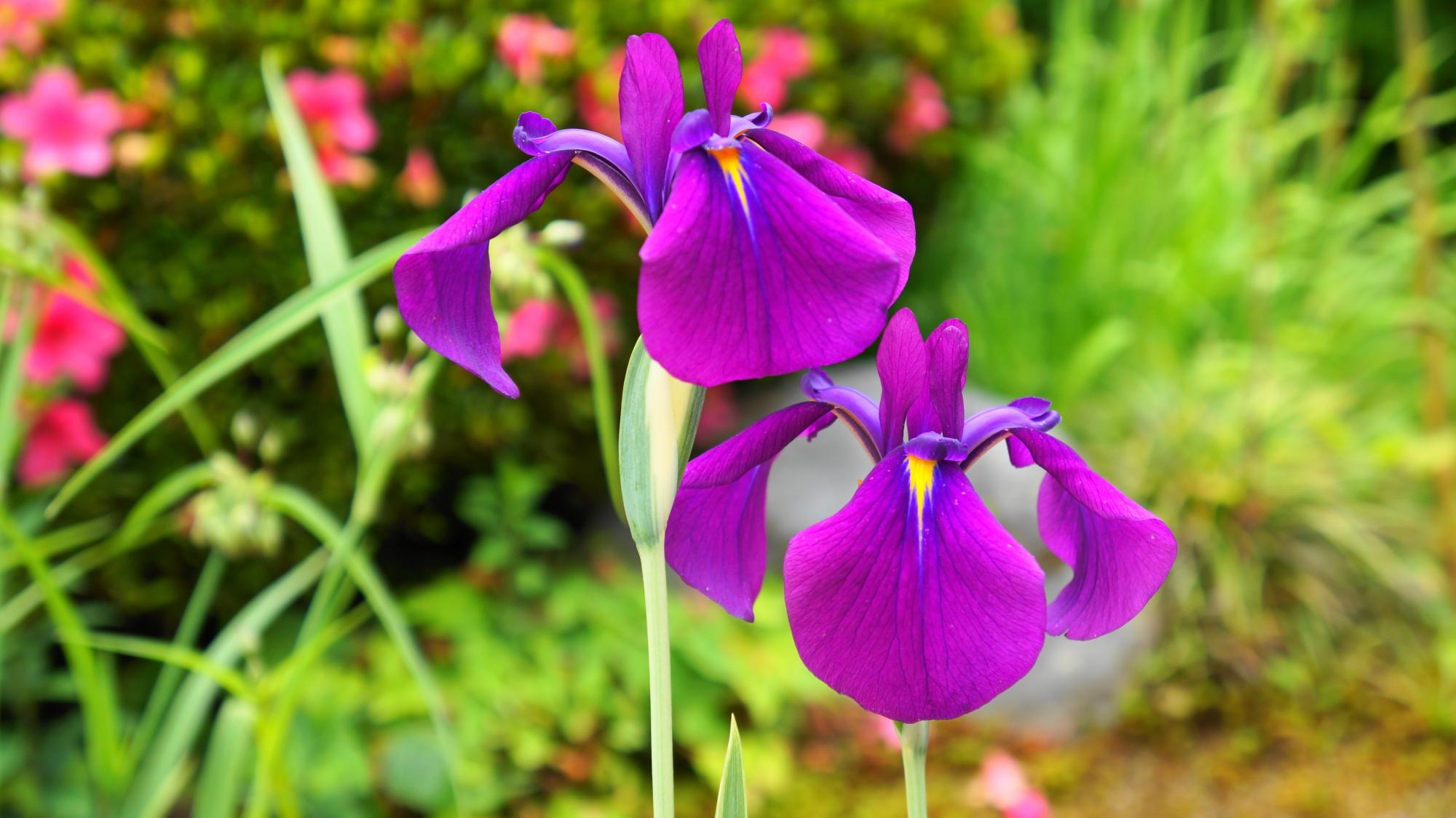 詩仙堂の紫色の立派な花菖蒲