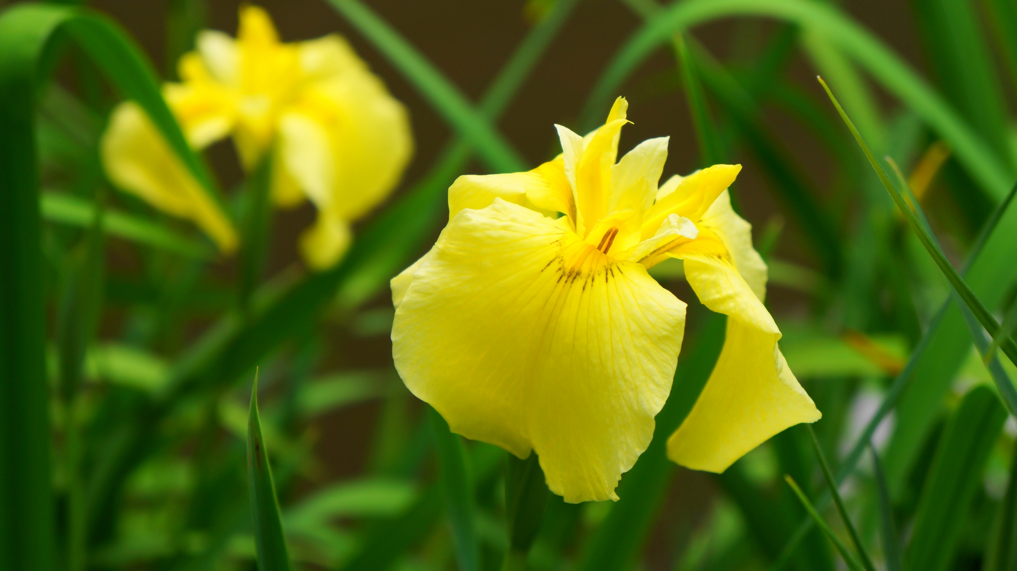 詩仙堂でこの時期に咲く花菖蒲