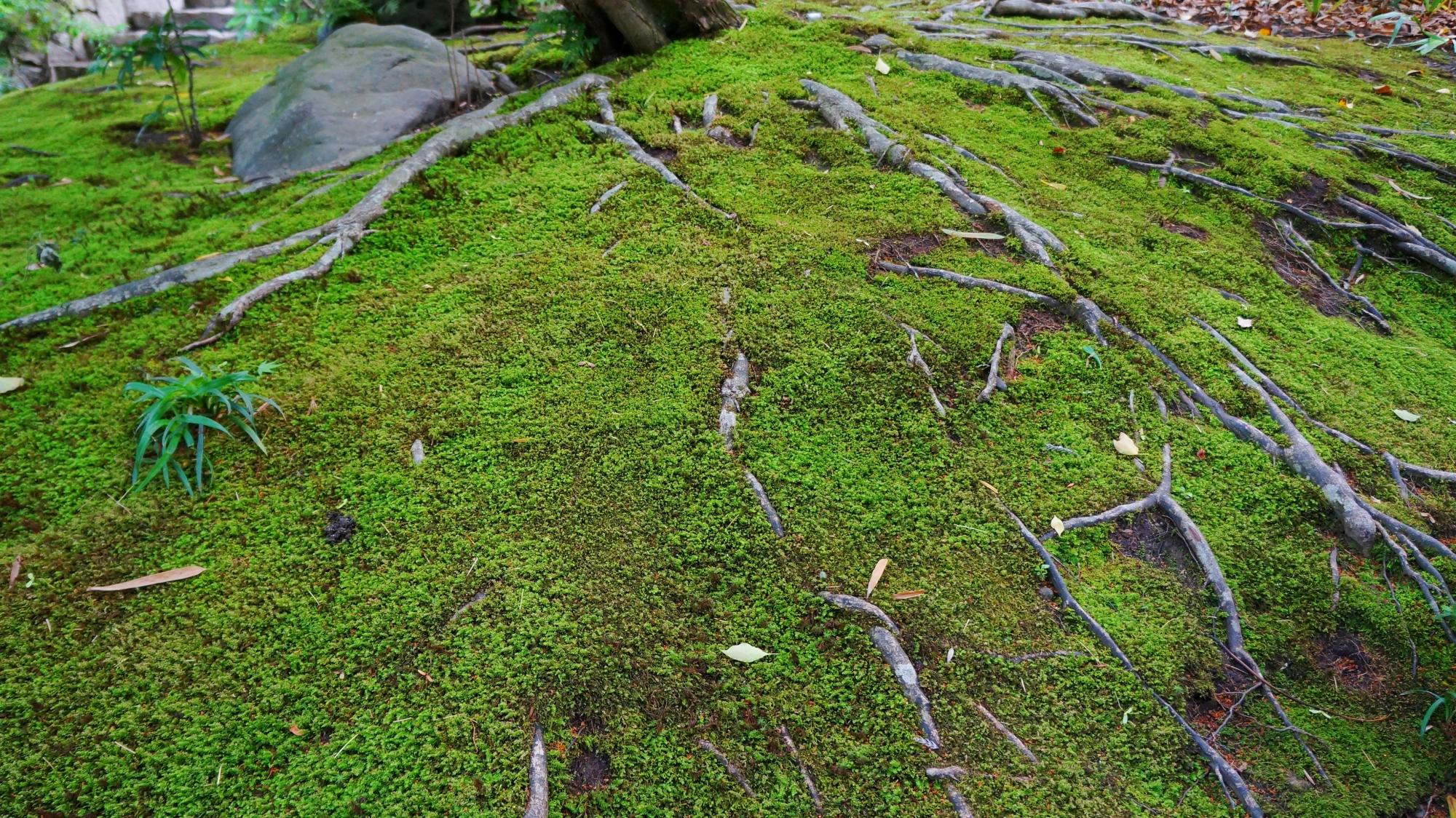 自然のままに木の根がはる鮮やかな緑の苔も綺麗