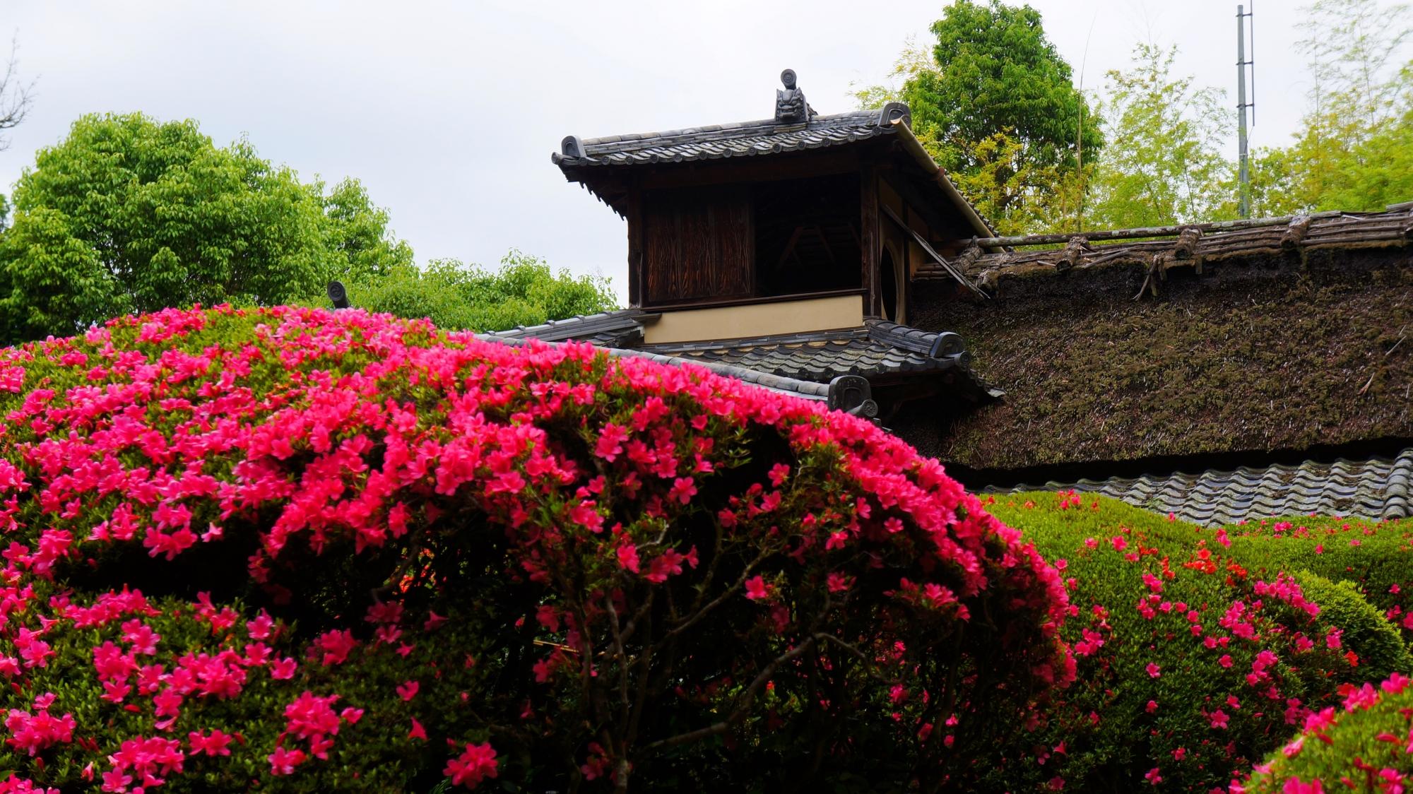溢れ落ちんばかりに咲き誇るサツキの花