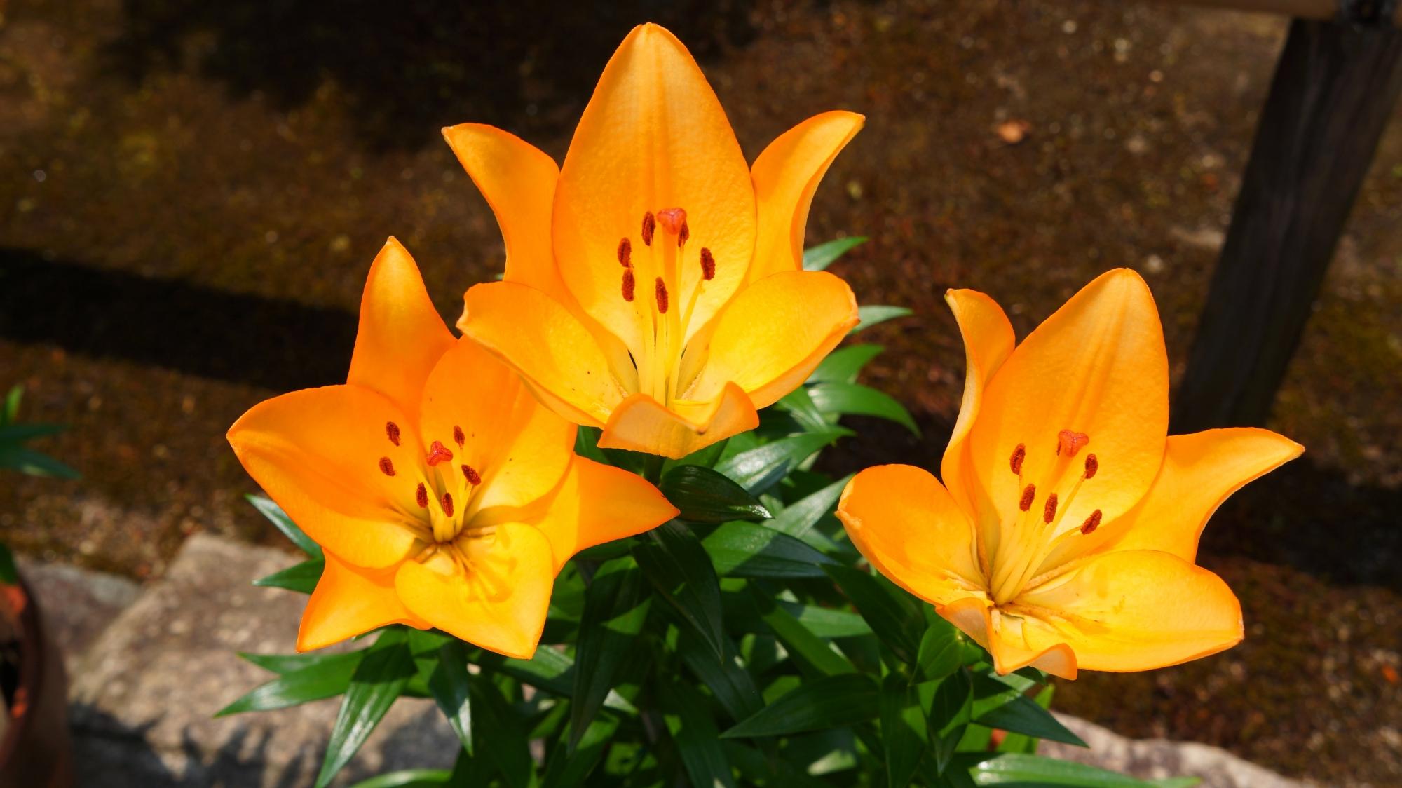 法金剛院の幻想的で妖艶なオレンジ色の百合の花