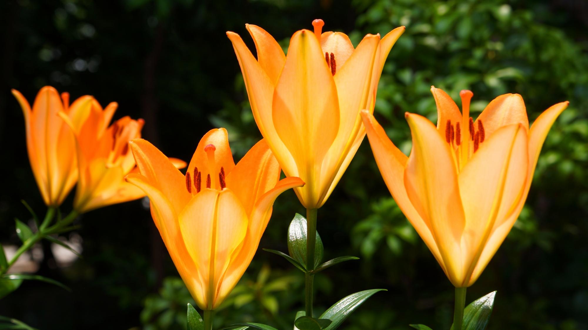 法金剛院の中門の側で輝くように咲く百合の花