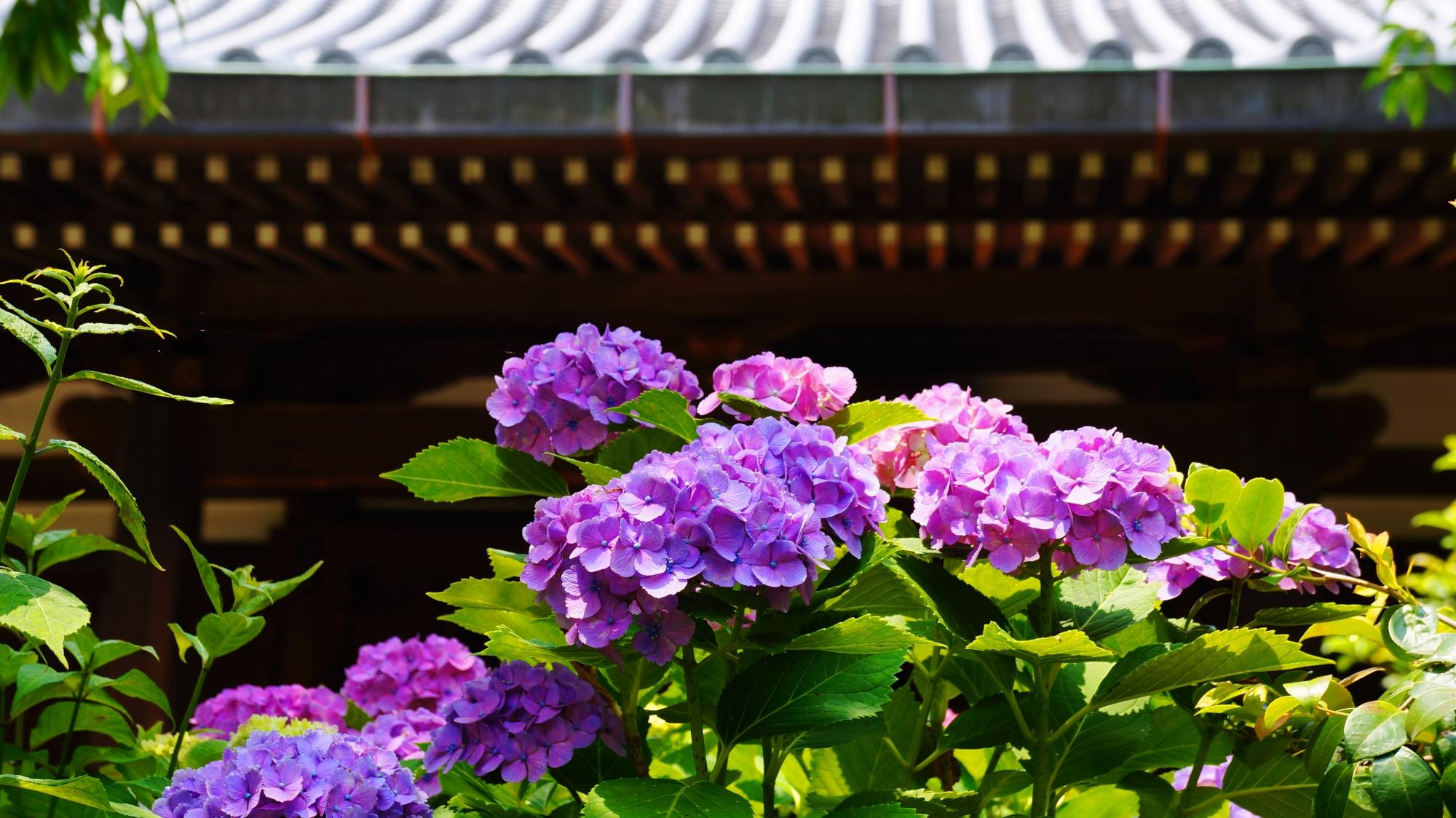 伽藍を背景にした法金剛院の絵になる紫陽花