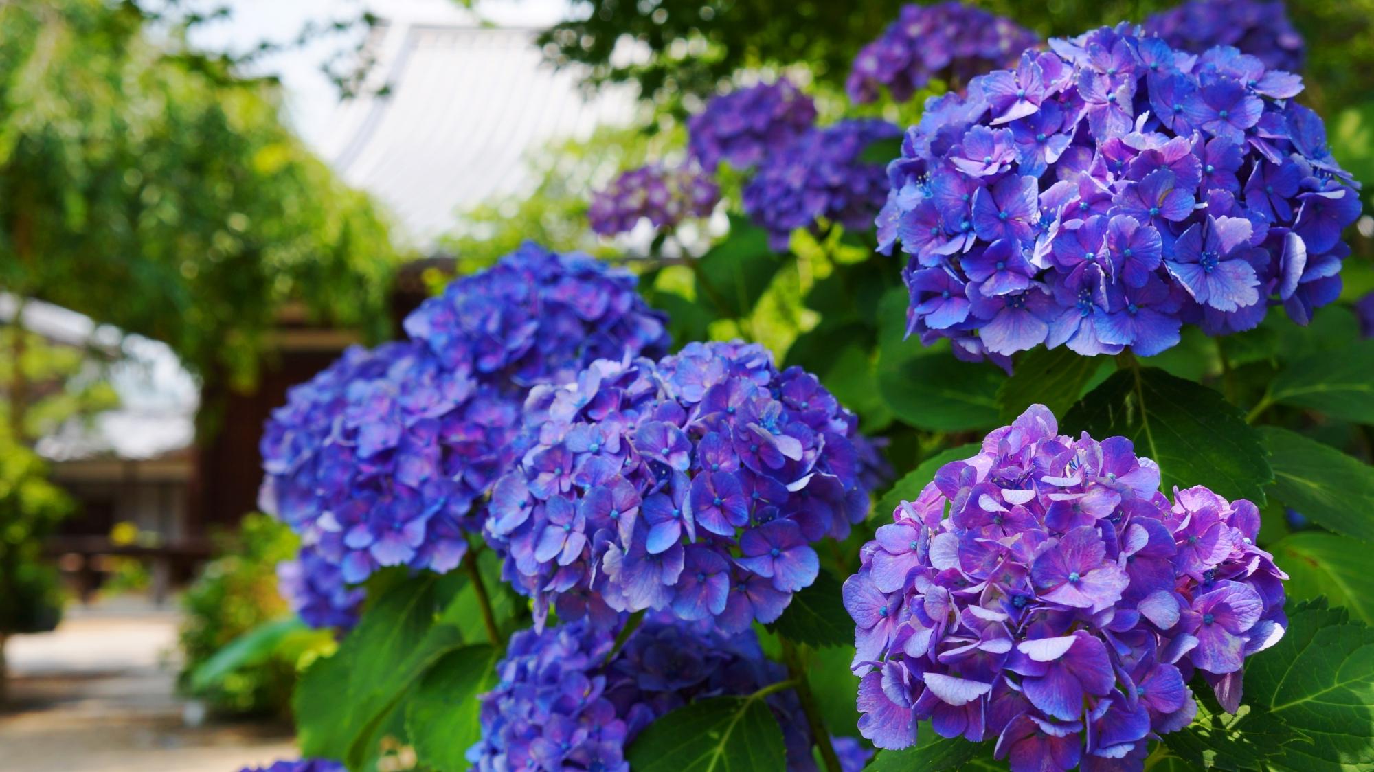 6月の法金剛院を彩る妖艶な色合いの紫陽花