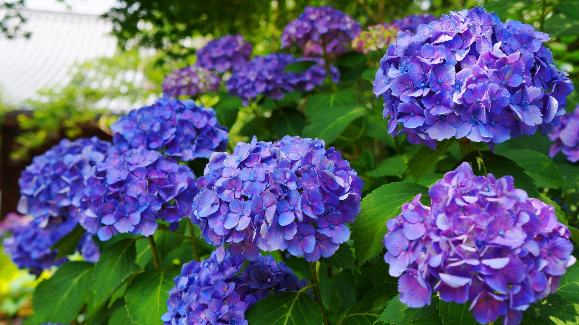 鮮やかな紫陽花につつまれる初夏の法金剛院(ほうこんごういん)