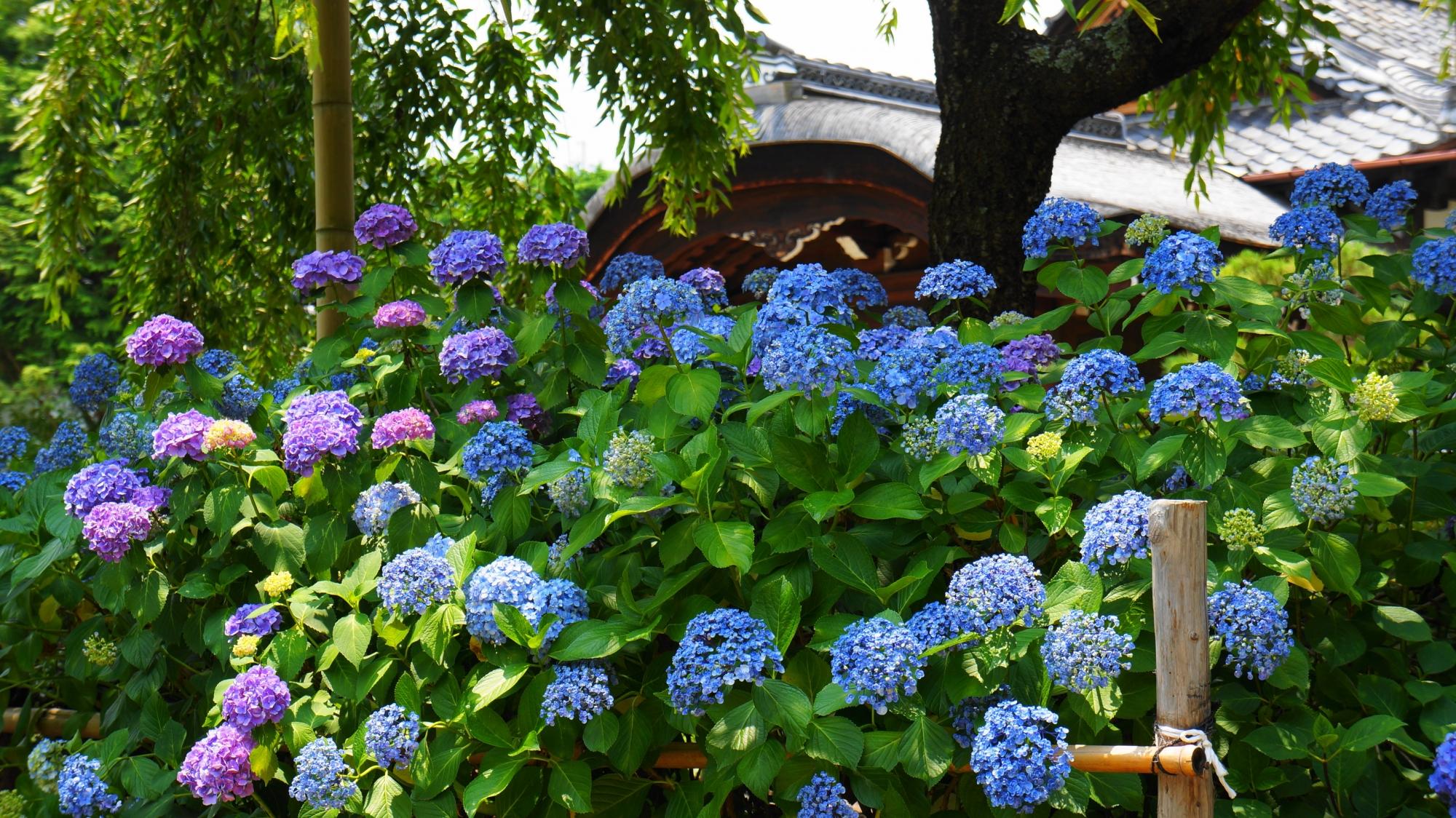 法金剛院の礼堂と庫裡大玄関前に咲くたくさんの紫陽花