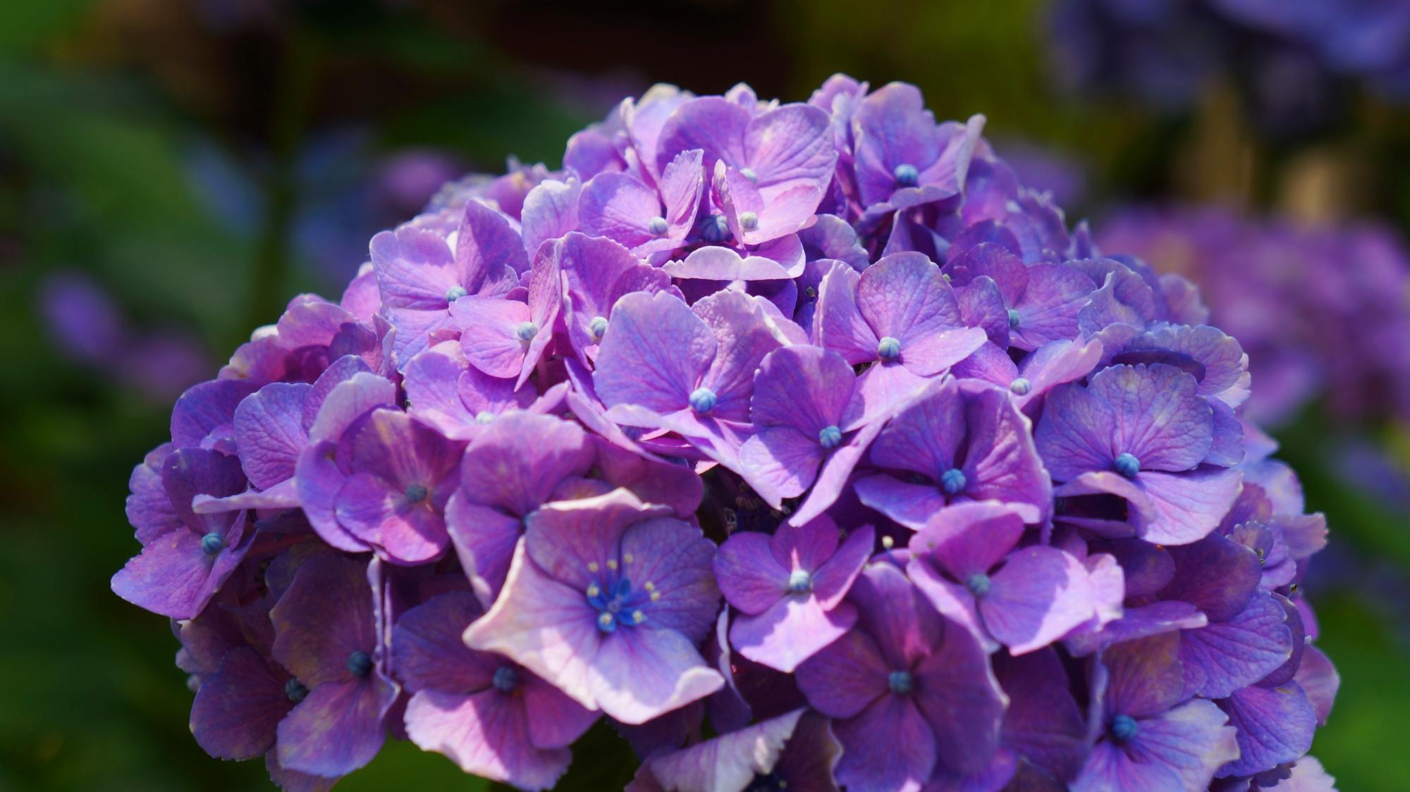 法金剛院の太陽を浴びて煌く紫色の紫陽花