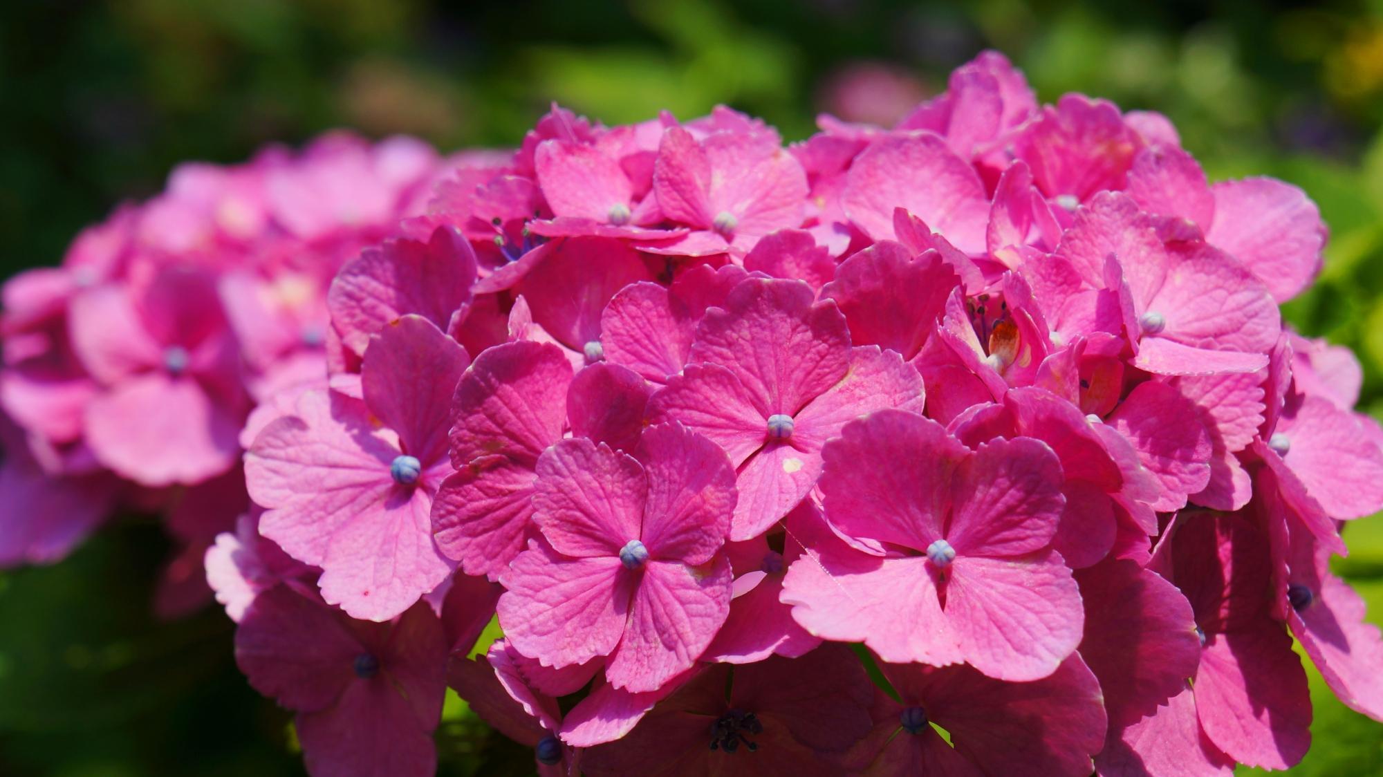 日が当たり煌く鮮やかなピンクのあじさいの花びら