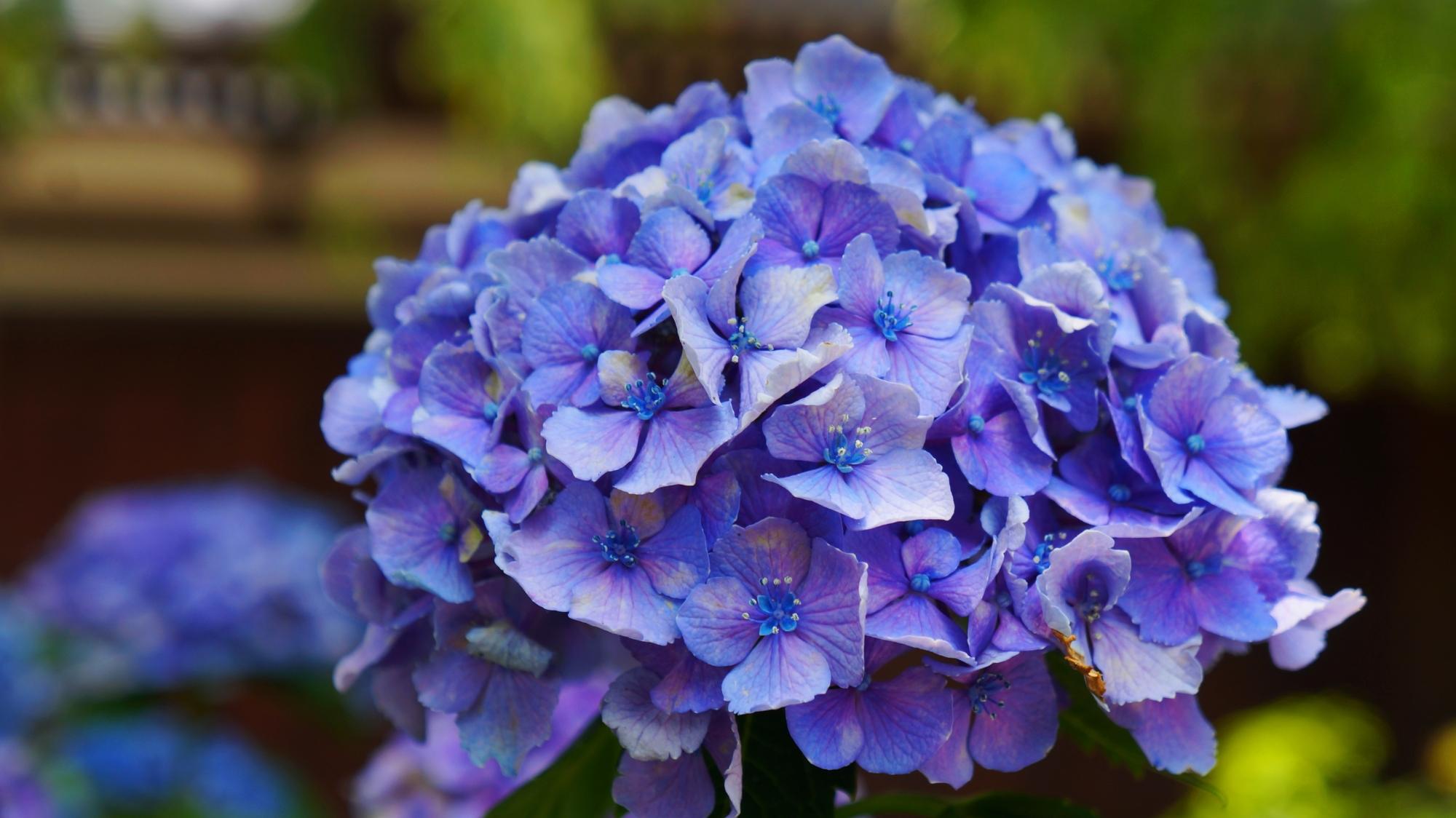 花びら一枚一枚は繊細で可愛い法金剛院のアジサイ