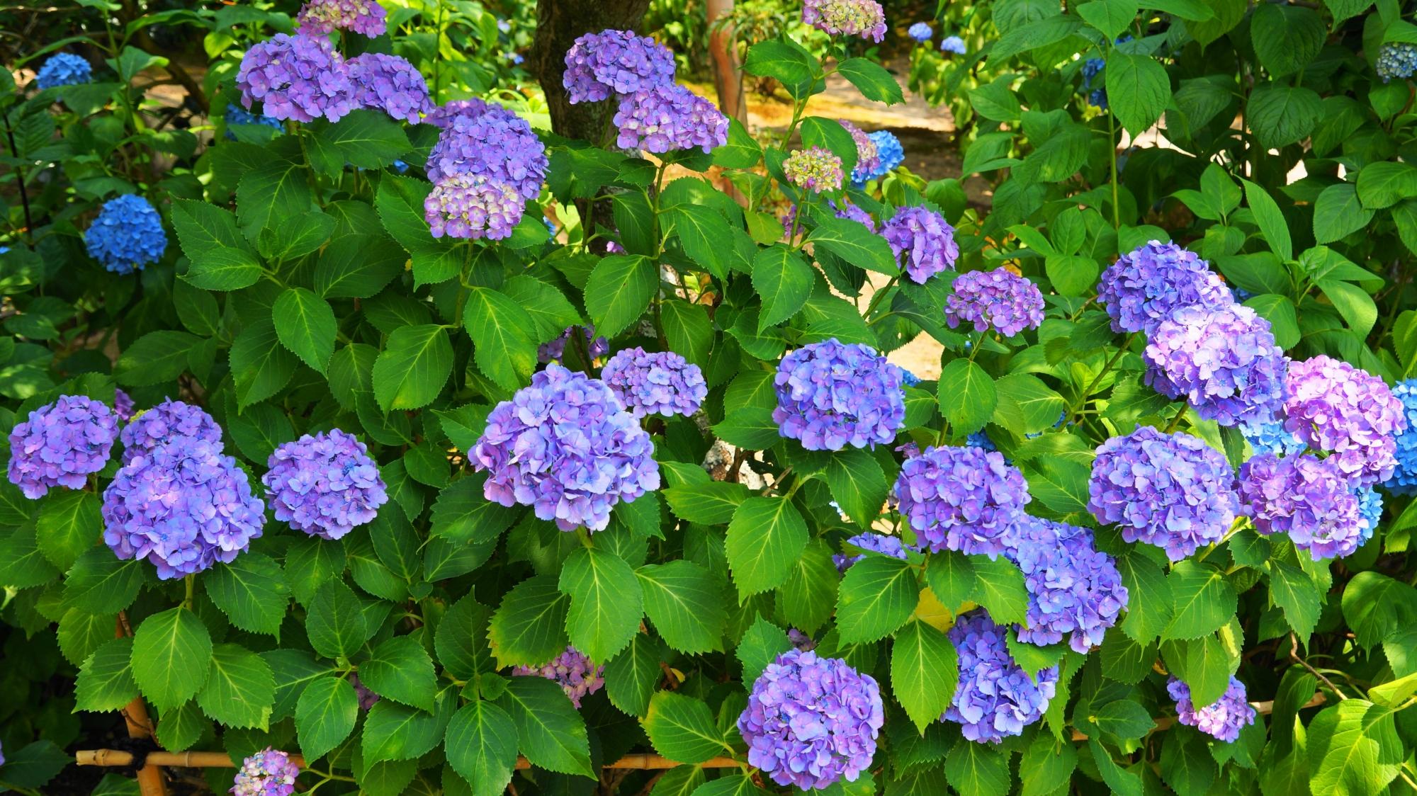 法金剛院の淡い緑に映える華やかな紫の紫陽花