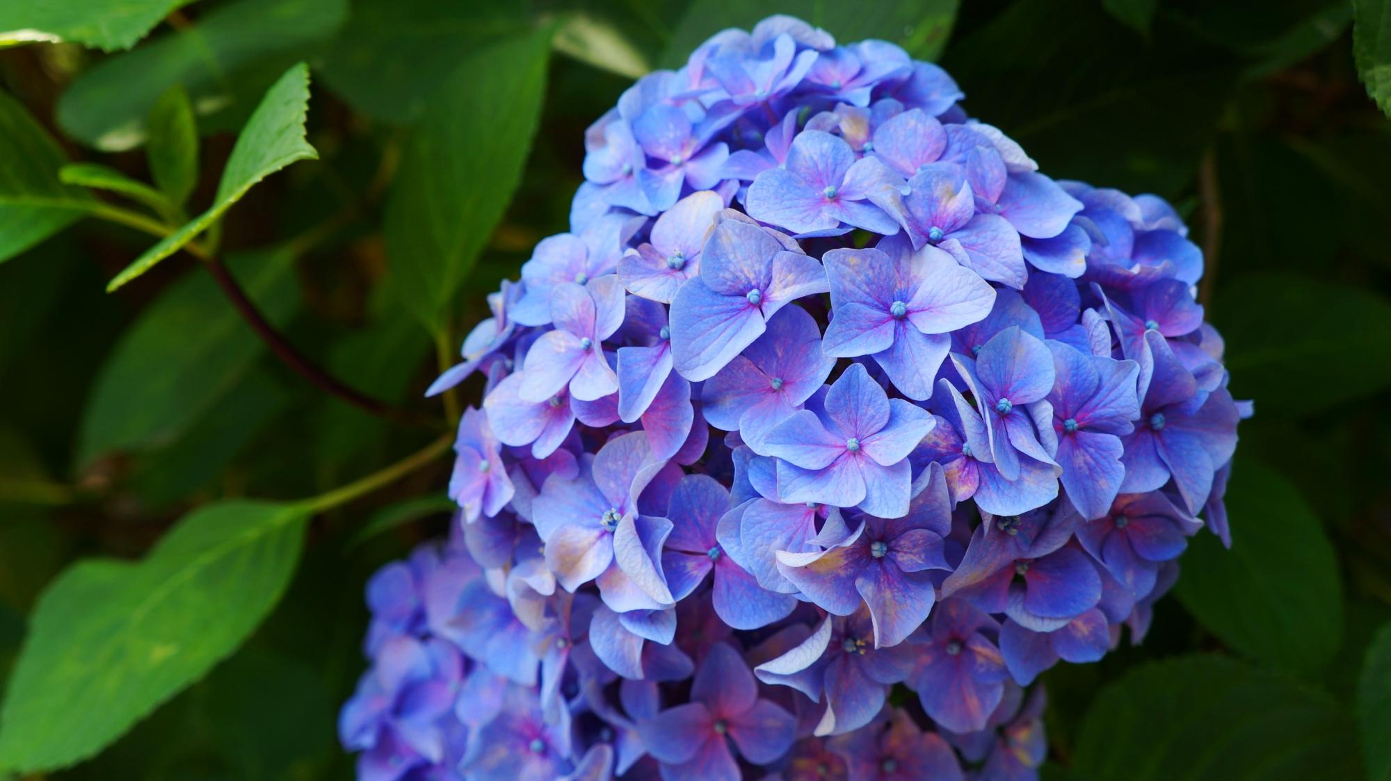 法金剛院の艶やかなやや紫の入った青い紫陽花