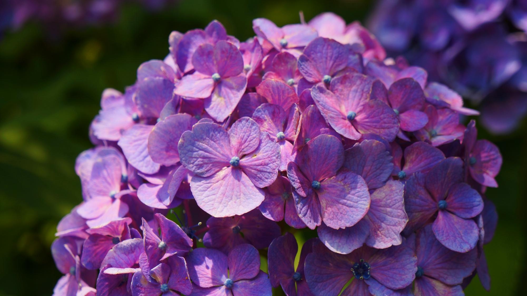 美しい紫陽花を演出する光と影