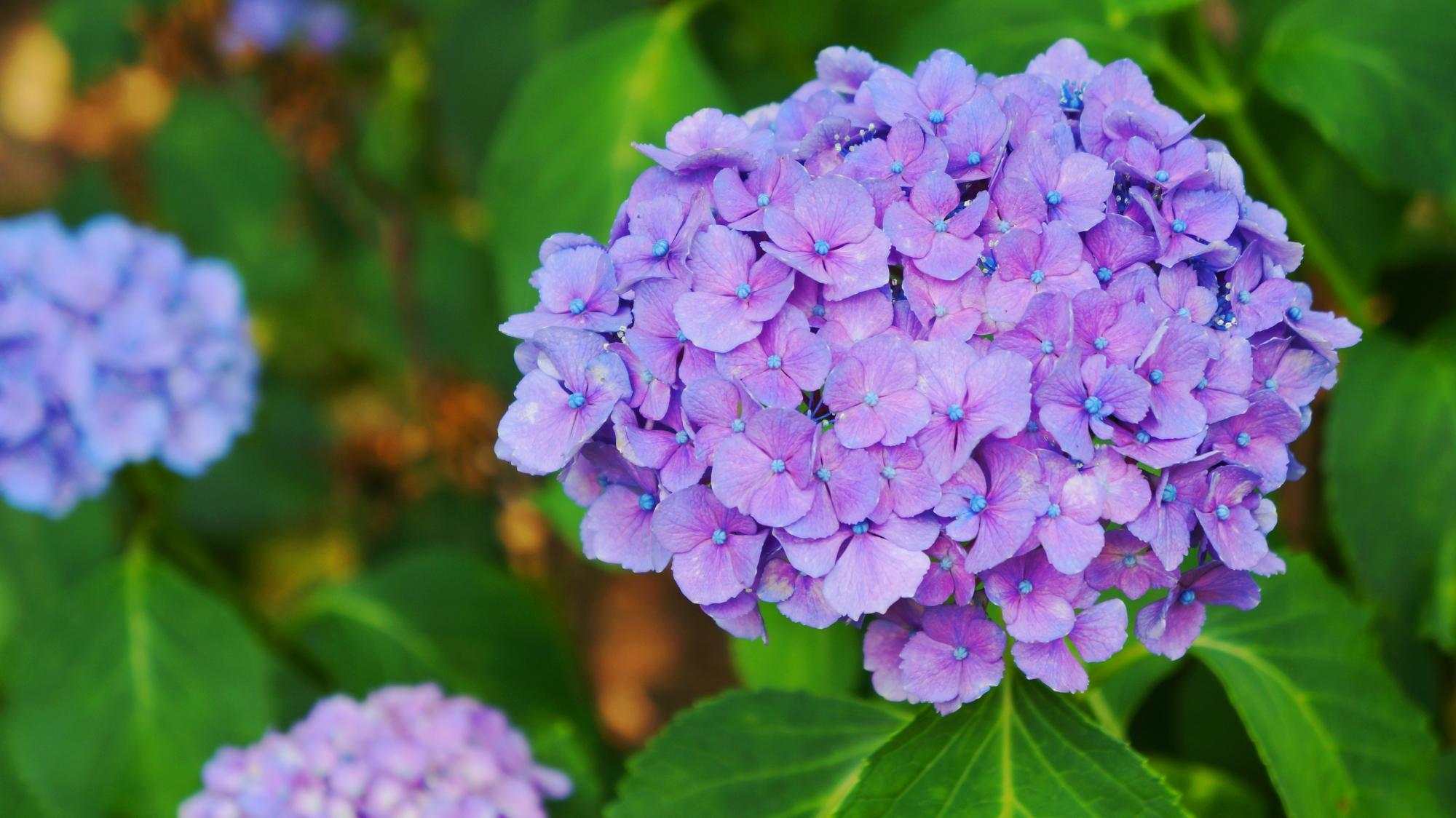 法金剛院の淡く優しげな紫の紫陽花
