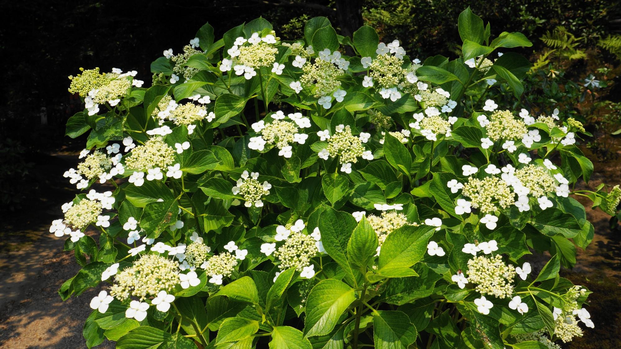 法金剛院の華やかな白い額紫陽花