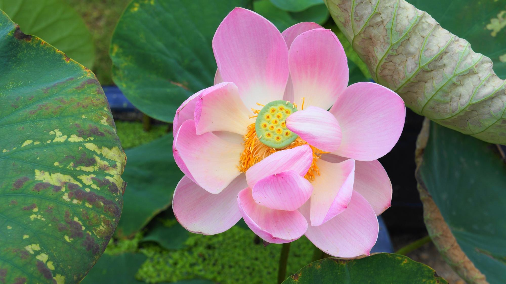 法金剛院の咲き始めの蓮の花