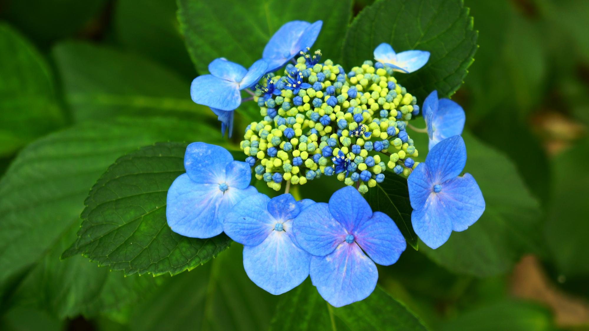 深い緑に映える鮮やかなブルーのガクアジサイ