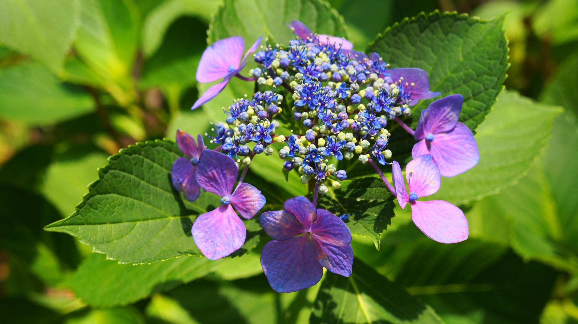 法金剛院の煌く紫の額紫陽花