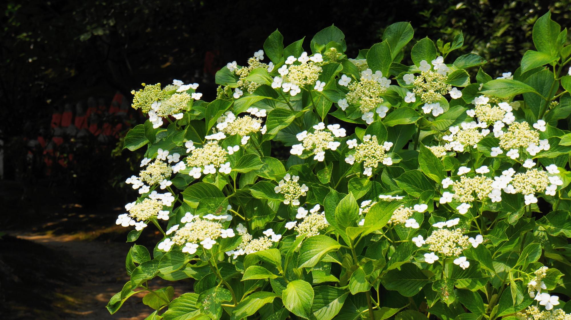 緑の上で華やぐ綺麗な白い額紫陽花