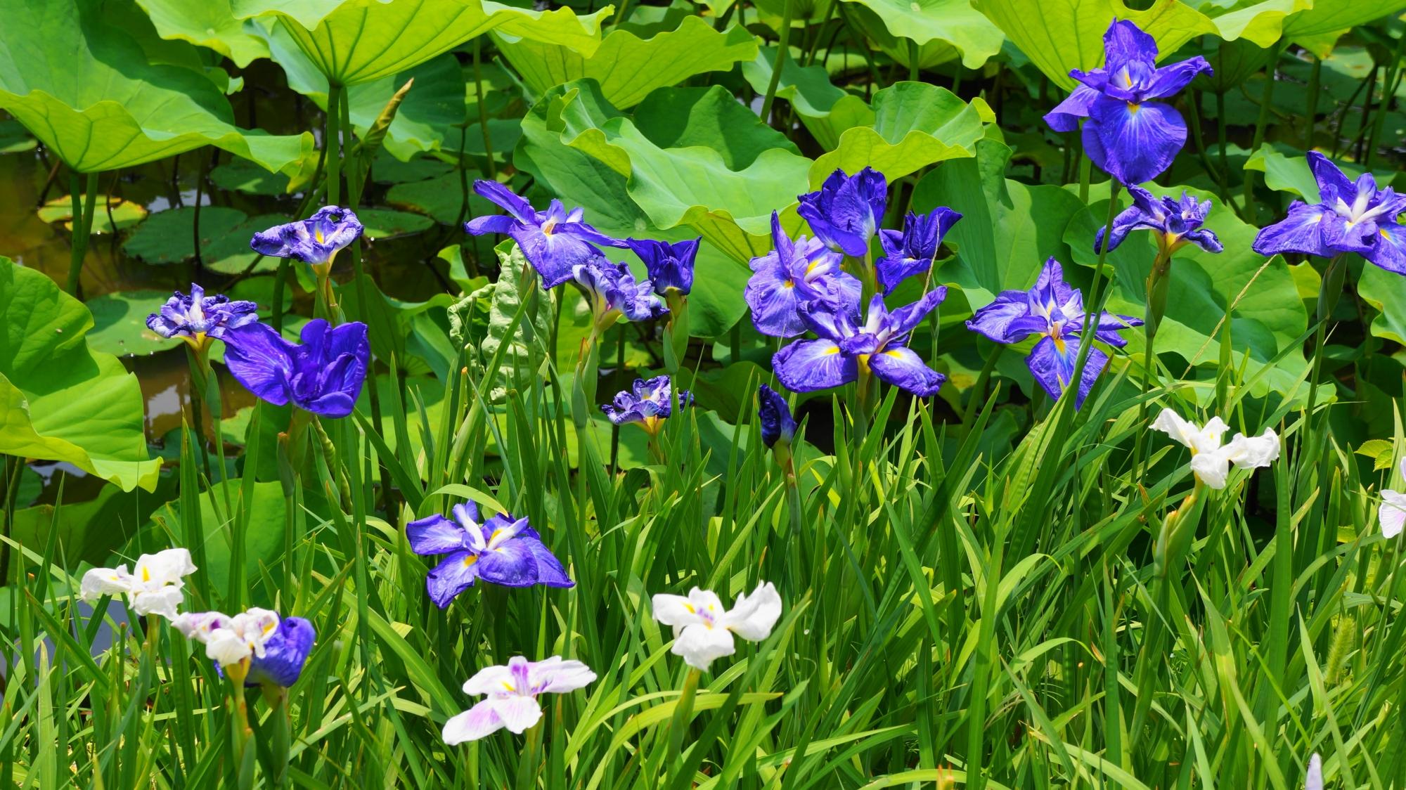 法金剛院に咲く鮮やかな花菖蒲
