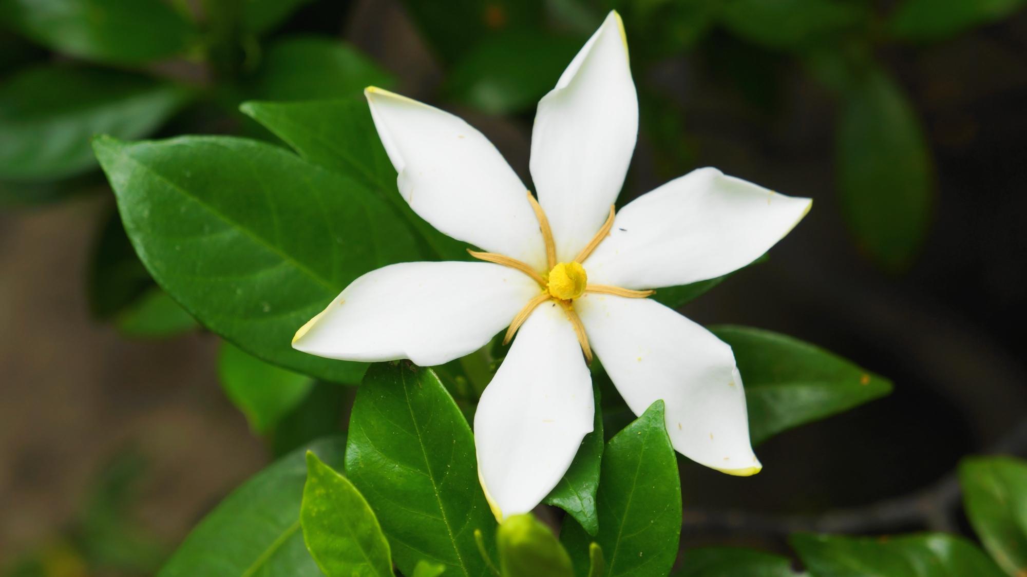 手裏剣のような形をしている法金剛院のクチナシの花