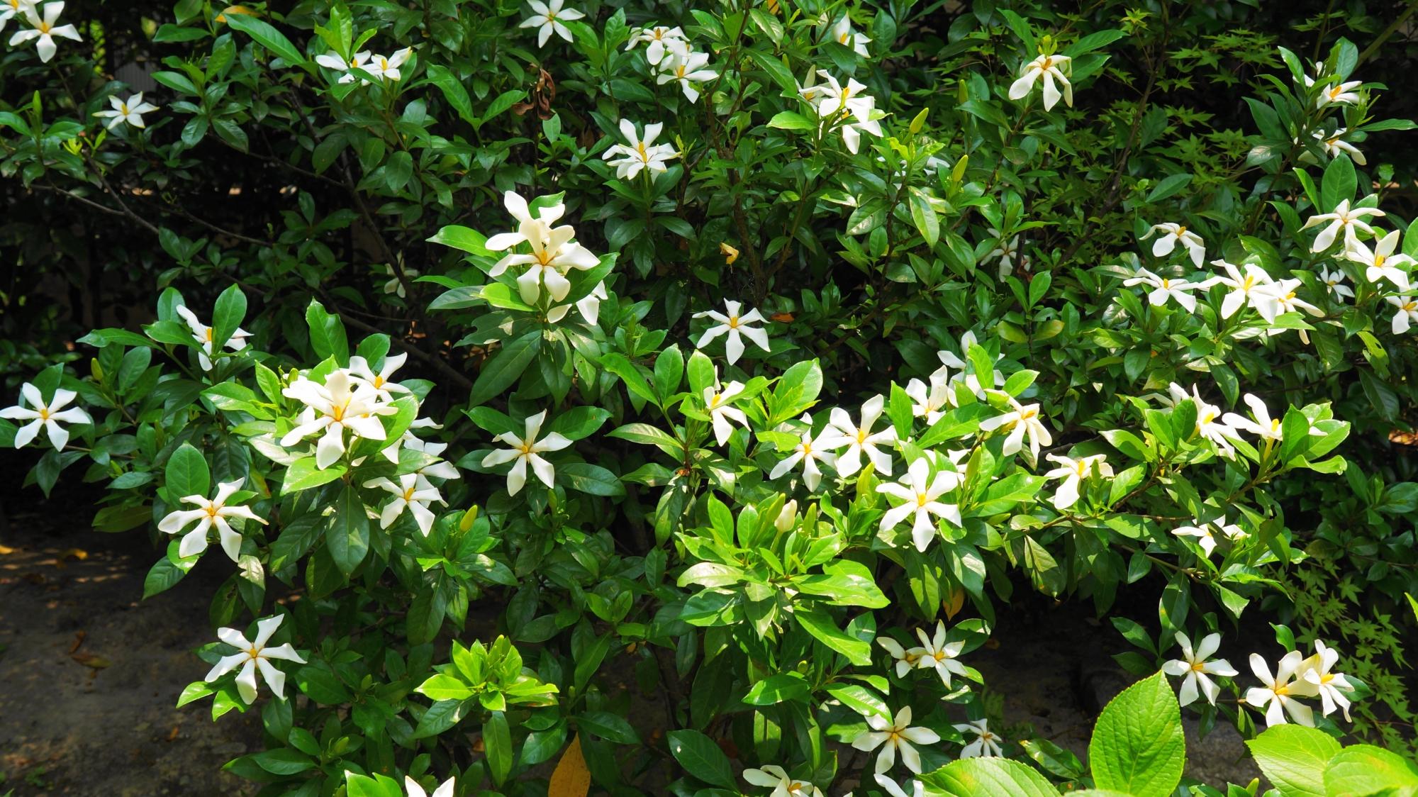 淡い緑の中で華やかに咲き誇る法金剛院の梔子の花