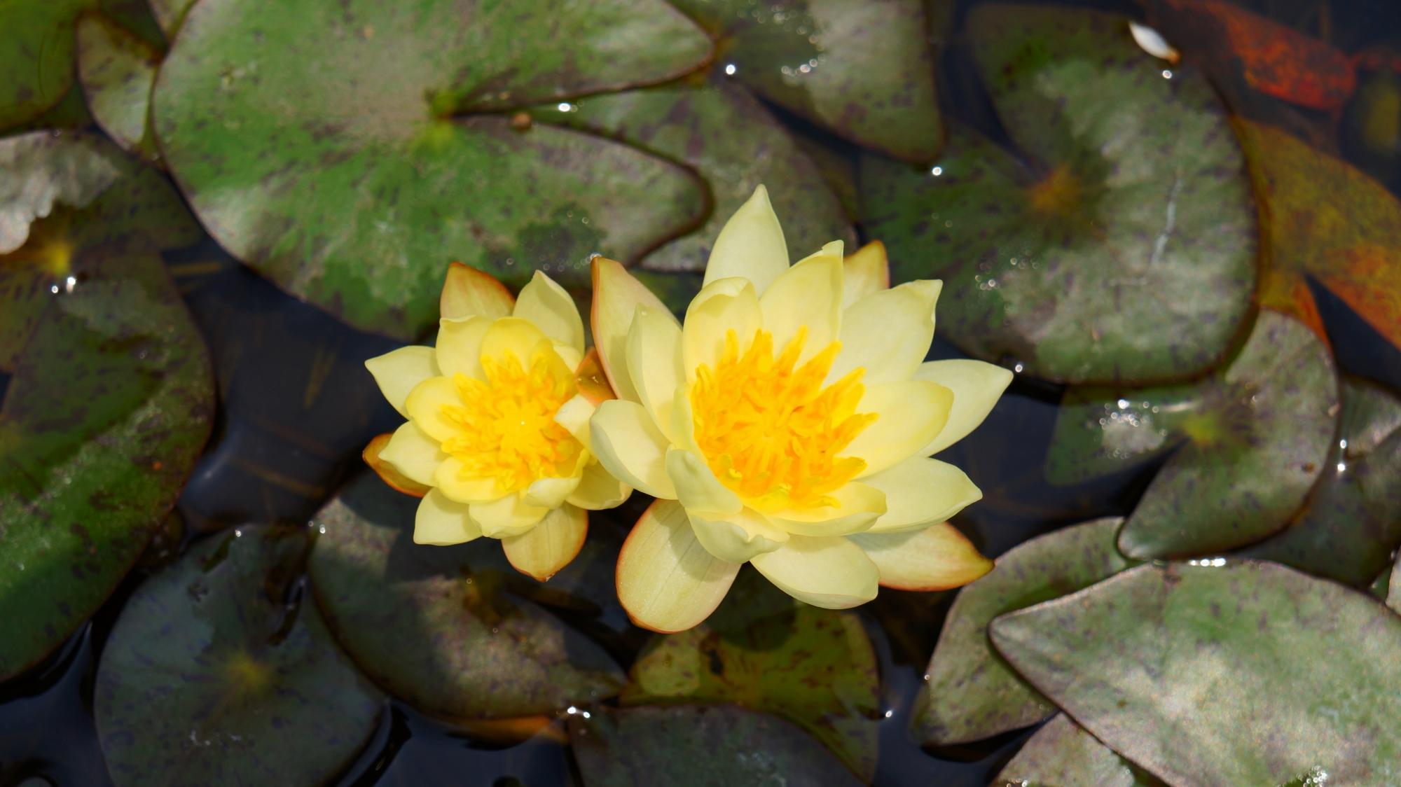 光るような法金剛院の黄色い睡蓮