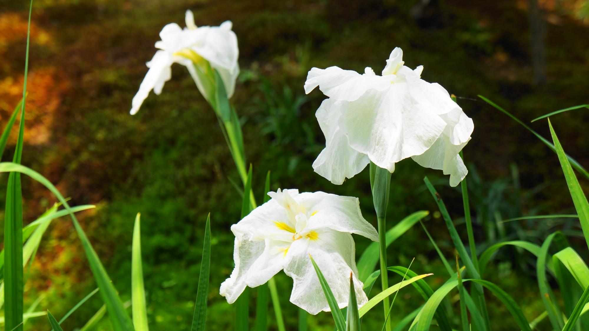 法金剛院のこちらは白い華やかな花菖蒲