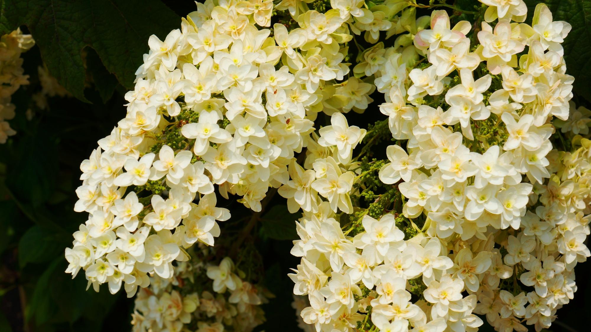可憐な花をいっぱいつける法金剛院のカシワバアジサイ