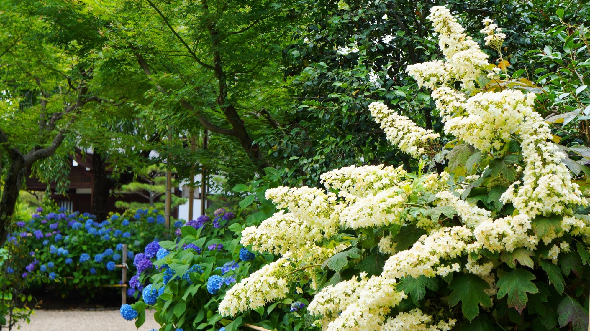 奥に咲く青や紫の紫陽花と柏葉紫陽花