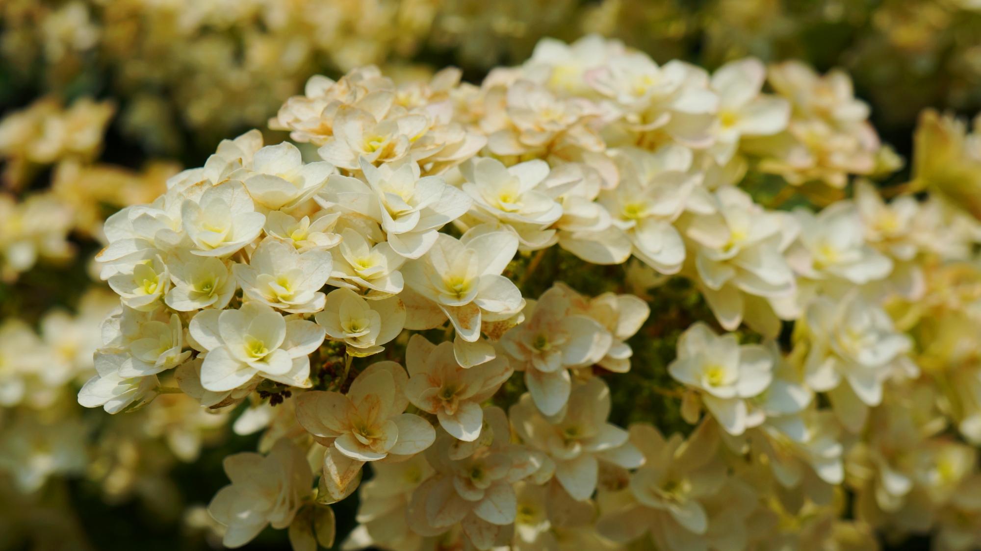 花びらが何重にも重なるカシワバアジサイ