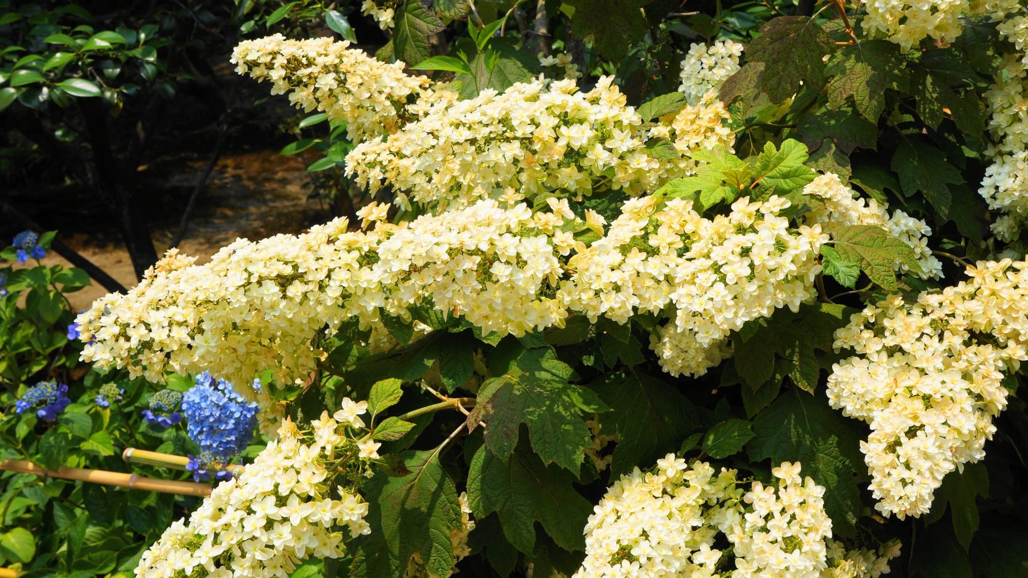 法金剛院のややクリーム色っぽい白の柏葉紫陽花(カシワバアジサイ)