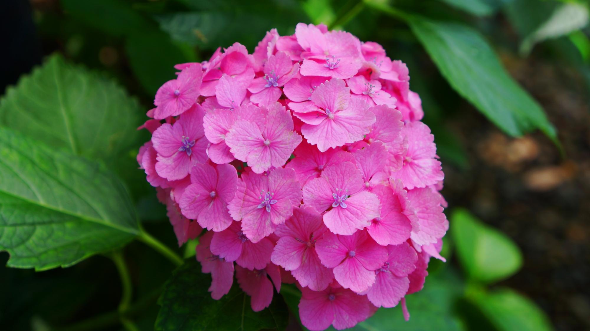 目を引くような鮮やかなピンクの藤森神社の紫陽花