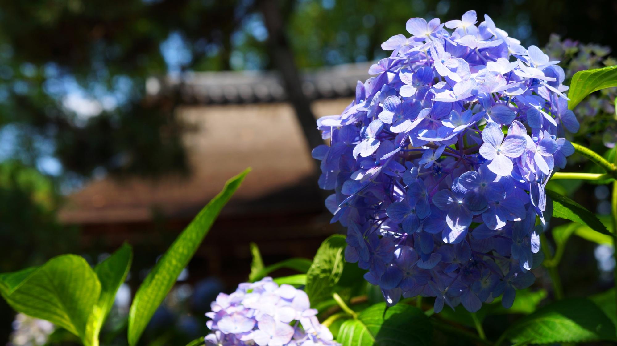 藤森神社の見ごろをむかえた多種多様な紫陽花