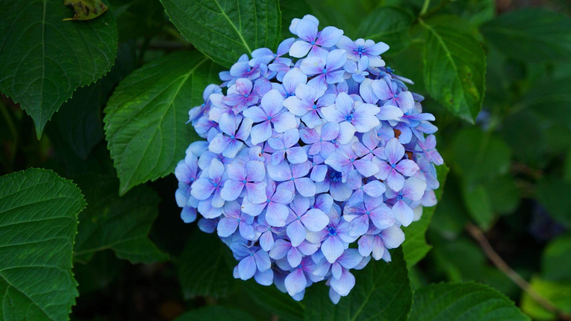 落ち着きの感じられるしっとりと咲く紫陽花