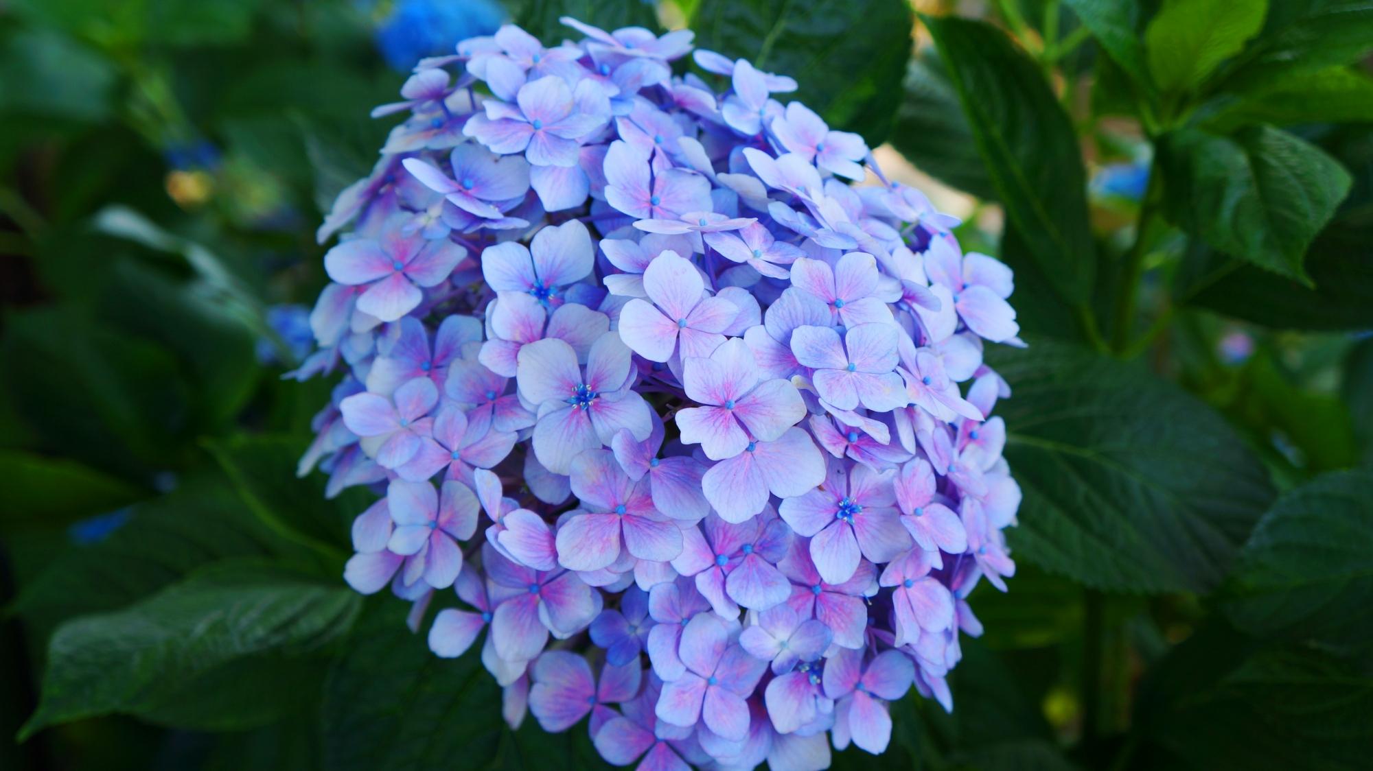 藤森神社の淡く華やかな色合いの紫陽花