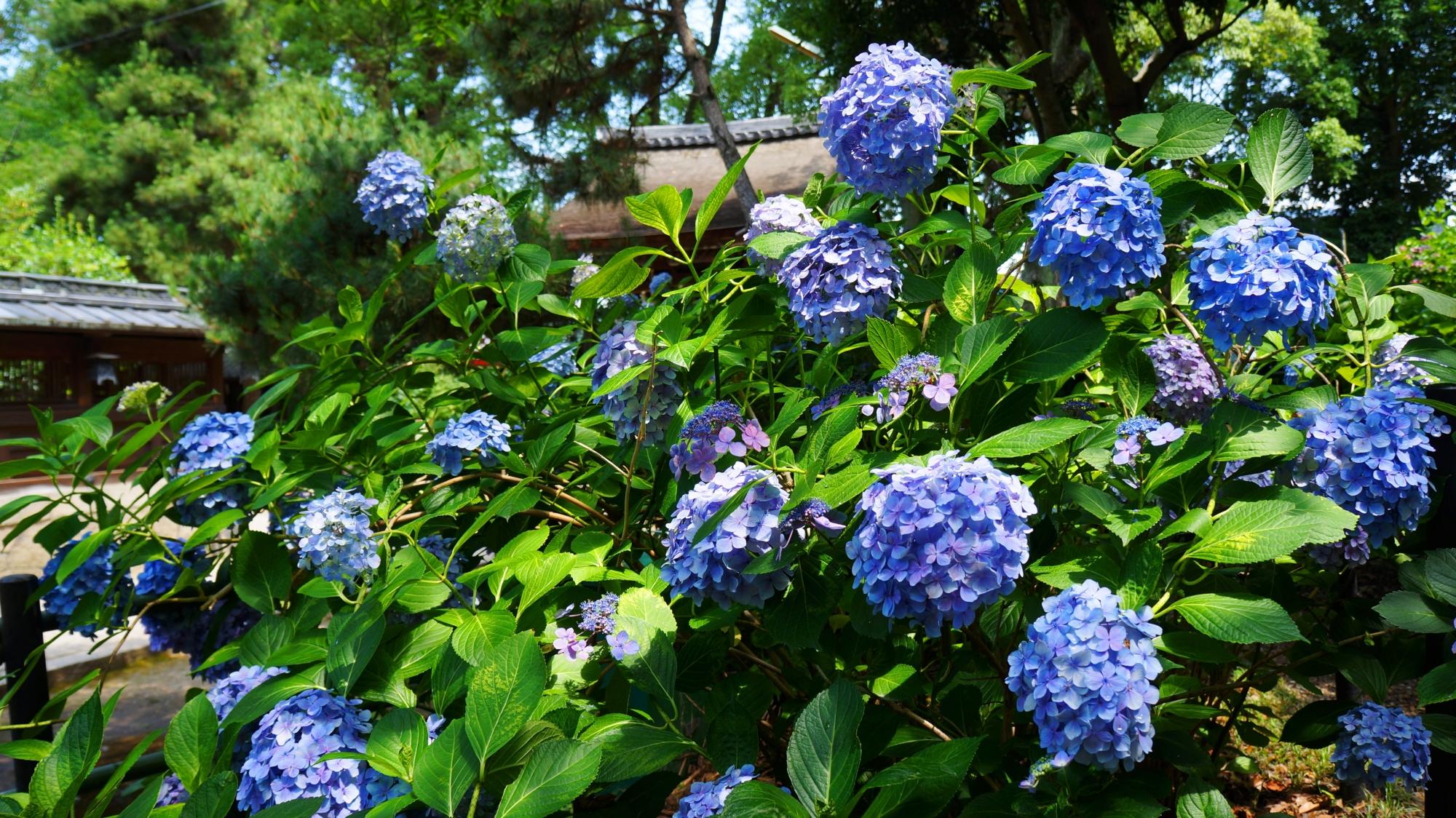 藤森神社のあじさい苑の紫陽花