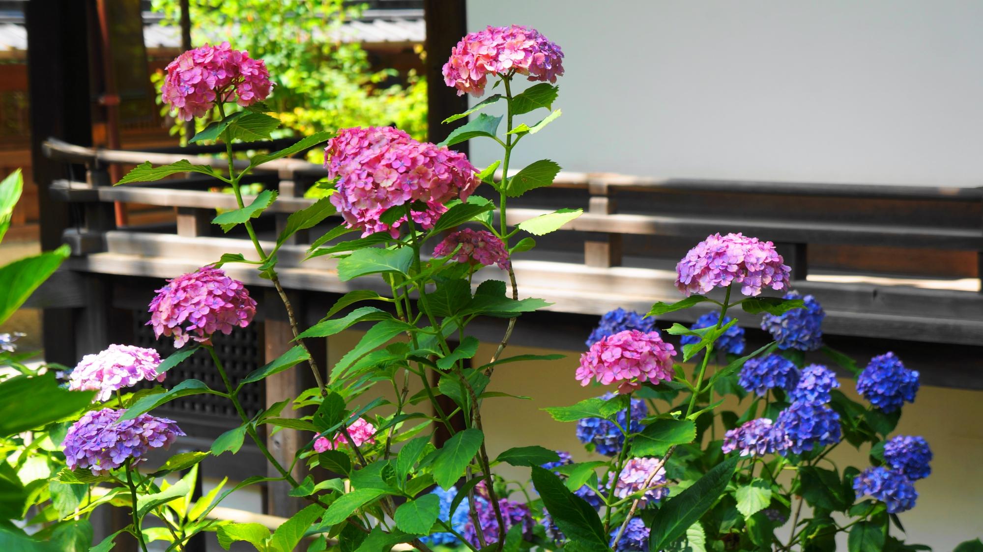 やや小ぶりながらも元気に咲き誇る紫陽花