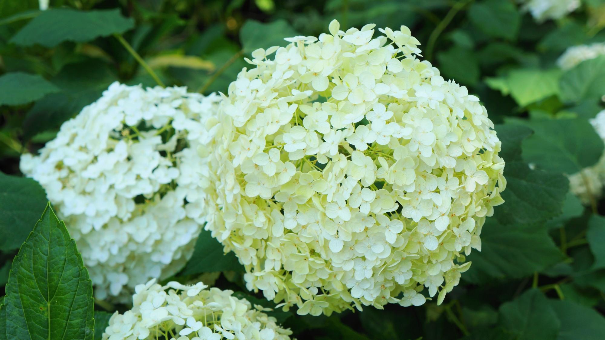 藤森神社の爽やかで淡い白色の紫陽花