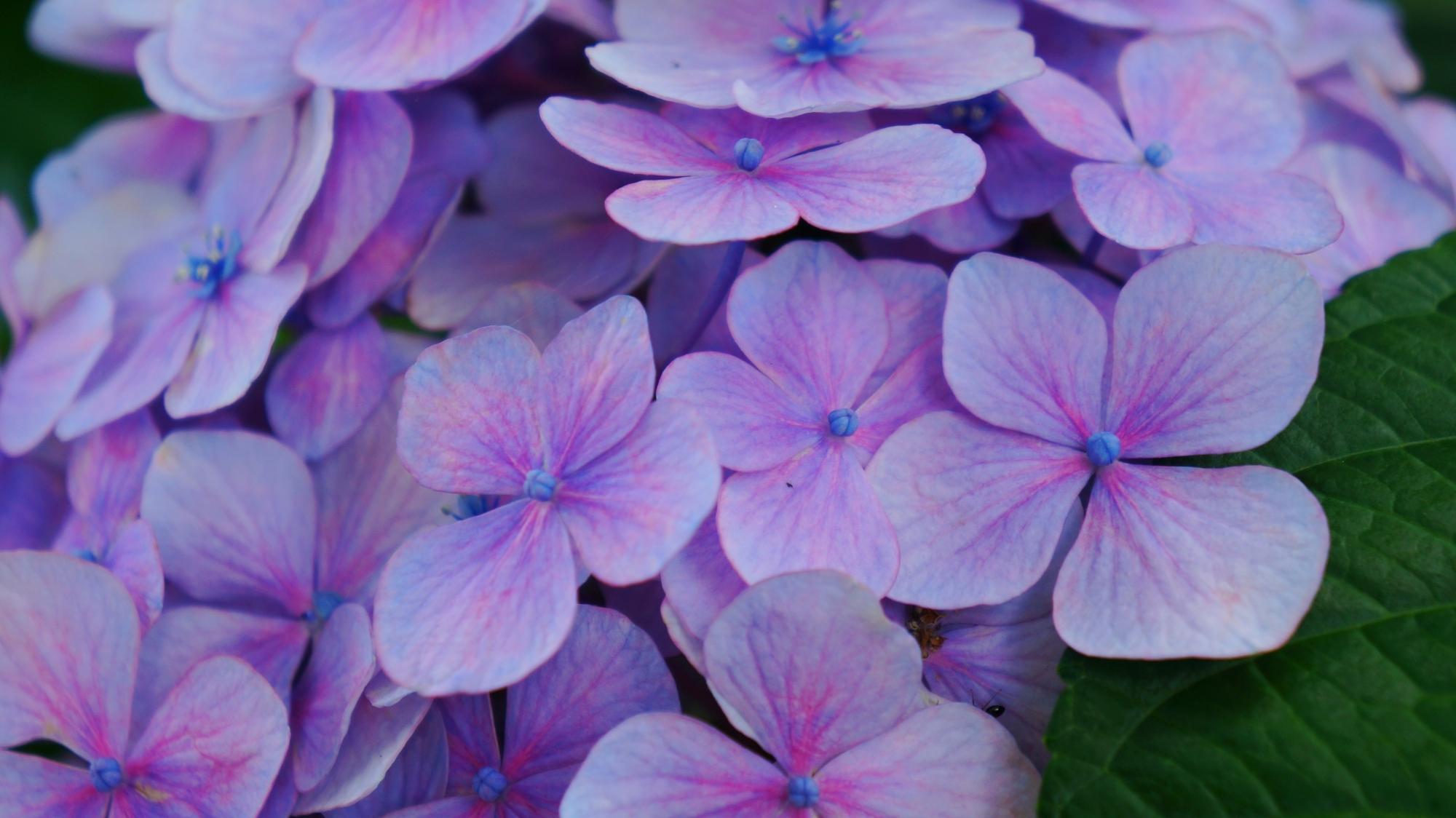 非常に繊細な色合いや色の変化のある紫陽花の花びら