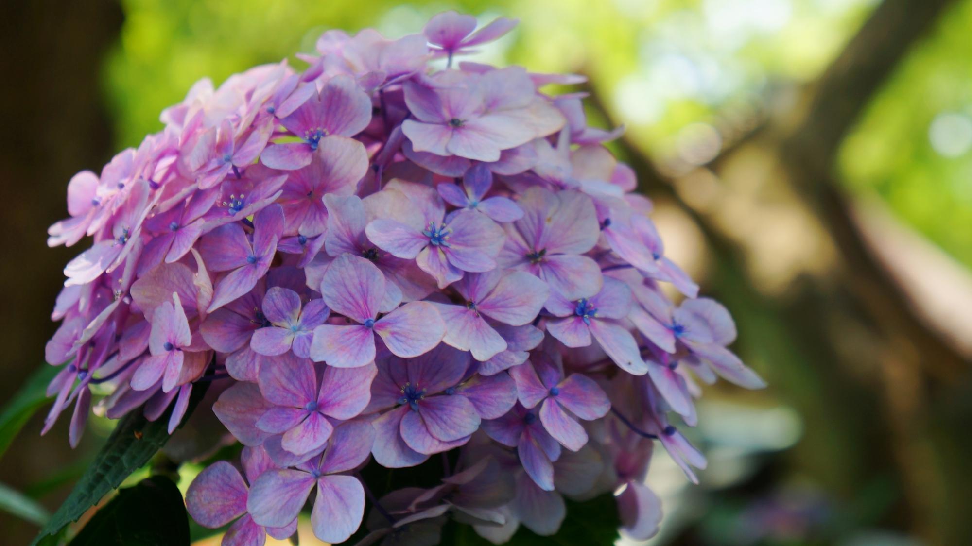 華やかな紫陽花につつまれる初夏の藤森神社