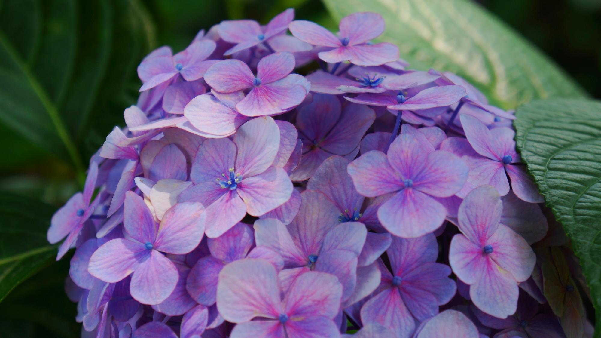 花びら一枚一枚が可憐な藤森神社のアジサイ
