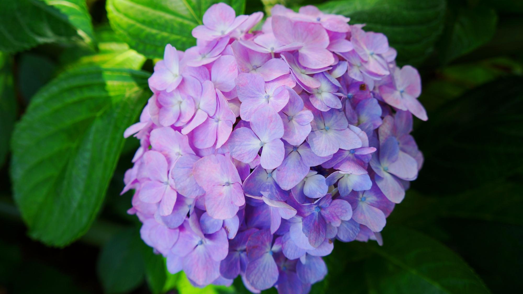 ほのかで優しげな雰囲気のする紫陽花