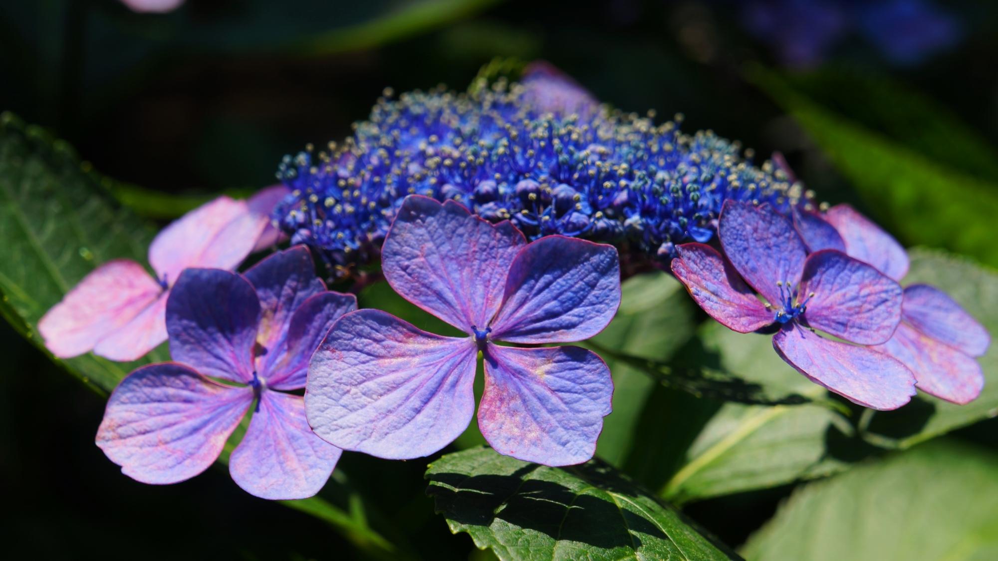 日が当たり煌びやかに華やぐ藤森神社の額紫陽花