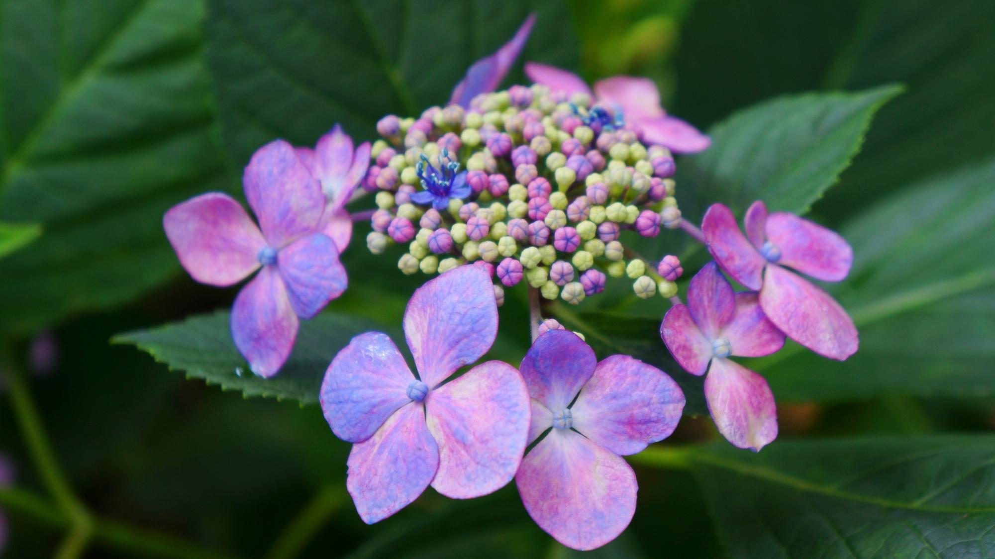 薄くほのかな色合いの花びらをした額紫陽花