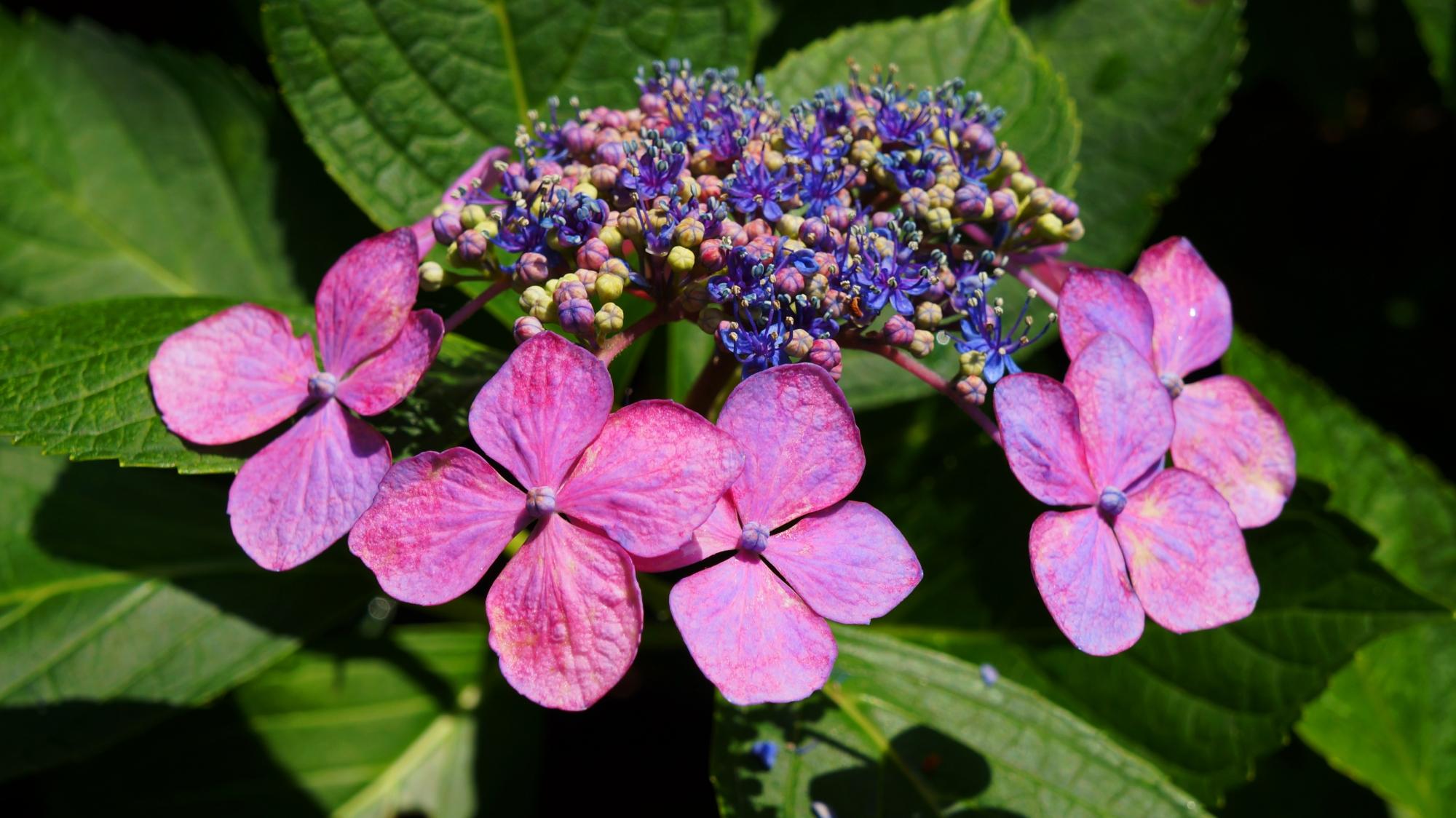 複雑に入り組んだ額紫陽花